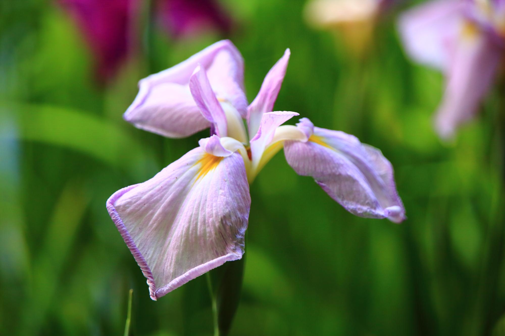 可愛いく控えめに咲く花菖蒲