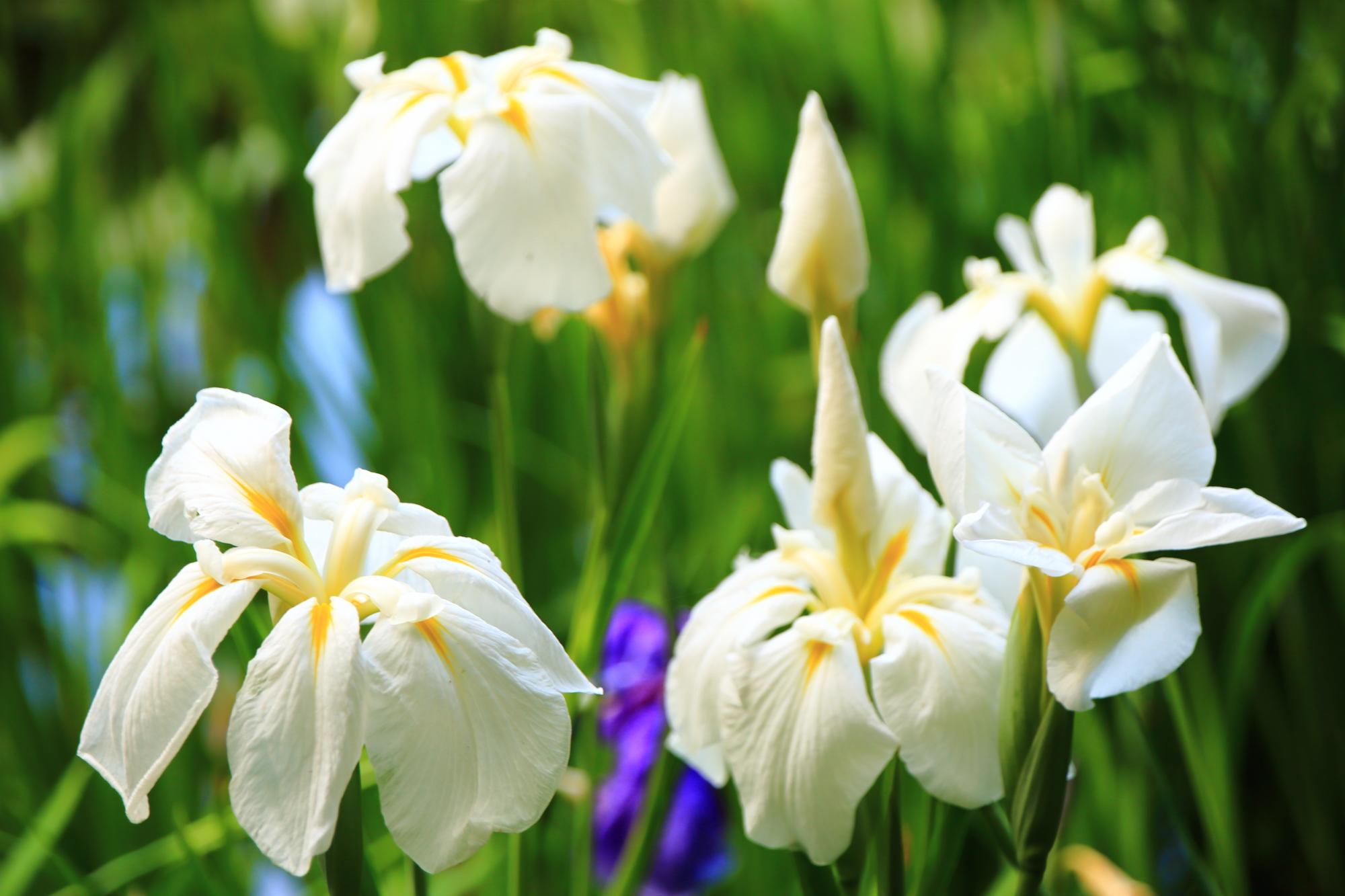 花びらを大きく垂らす白い花菖蒲