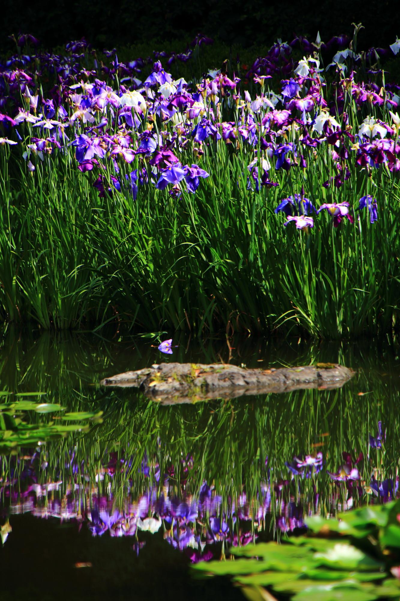 平安神宮の素晴らしい花菖蒲と初夏の情景
