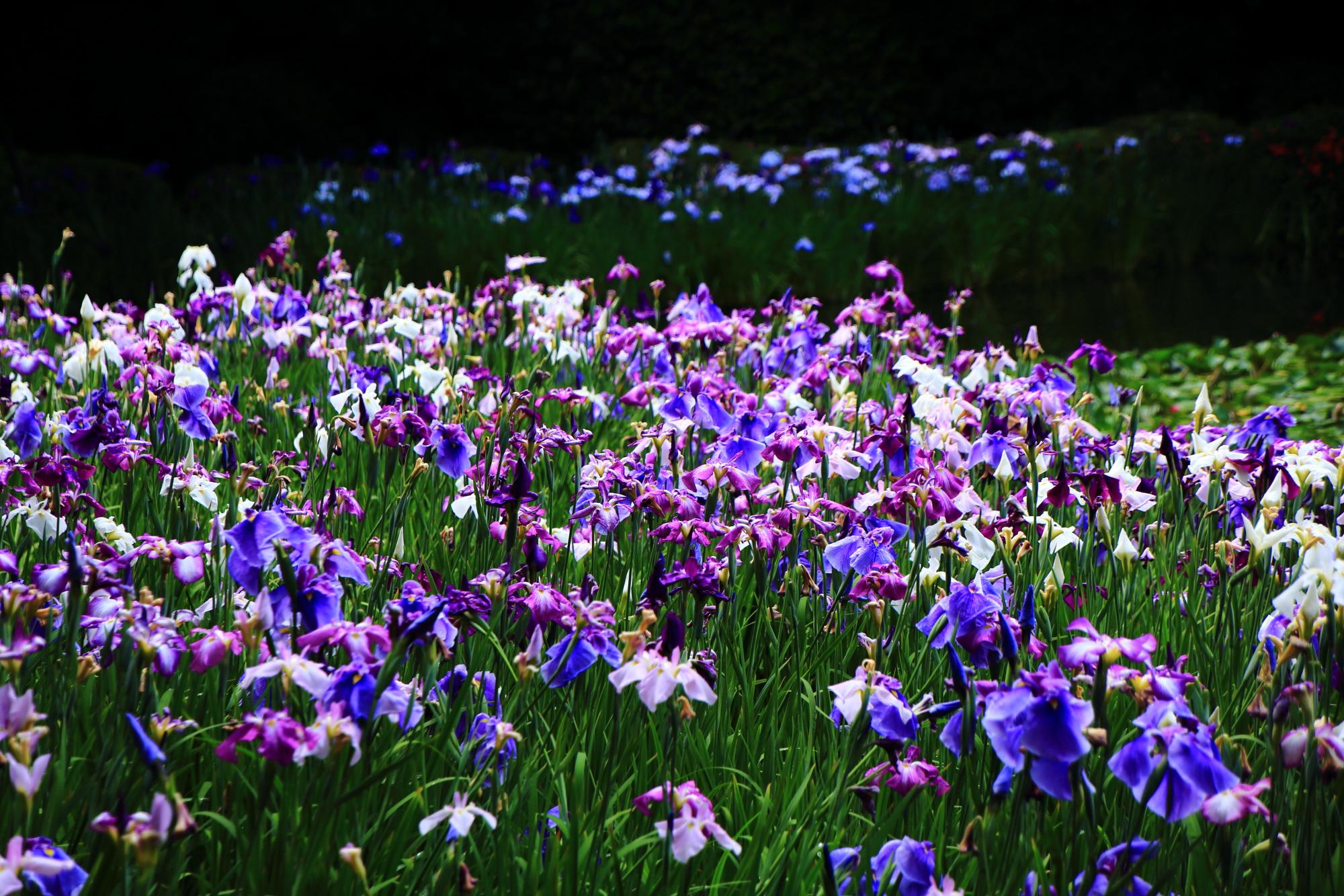 豪快かつ上品に咲き誇る花菖蒲につつまれる平安神宮神苑