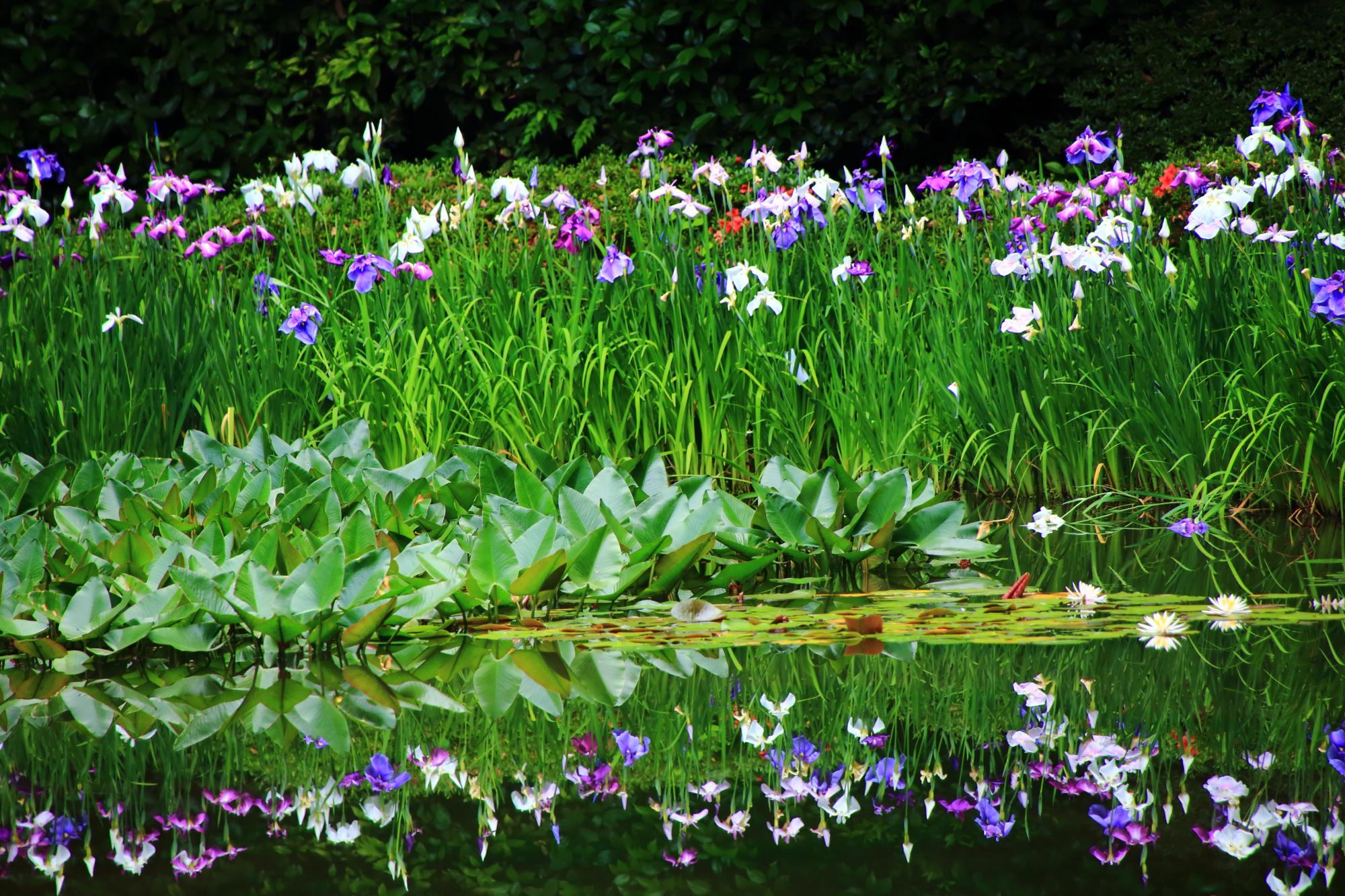 緑に映える鮮やかな花菖蒲と華やかな水鏡