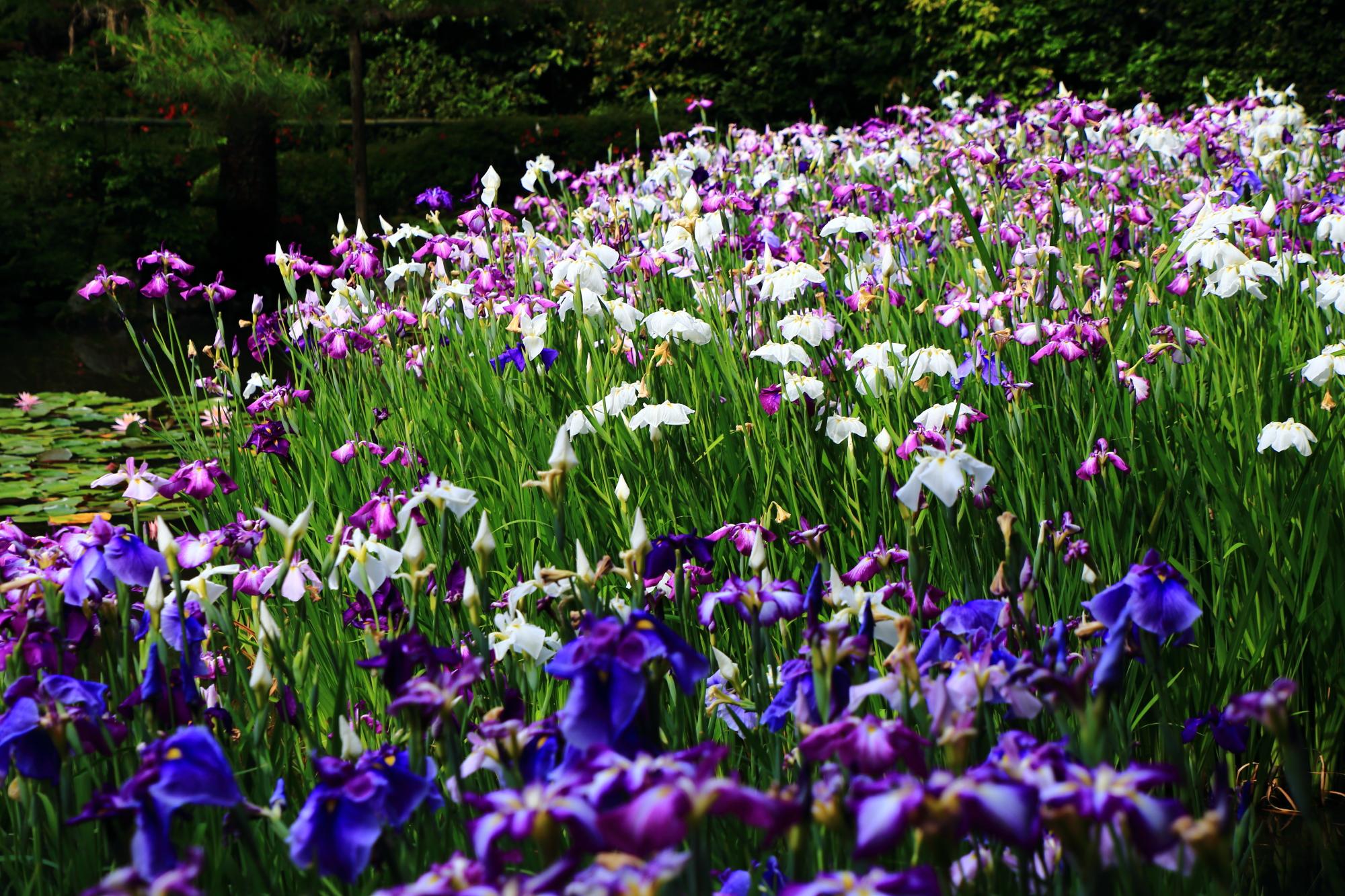 花付きも良く見ごたえ十分の花菖蒲