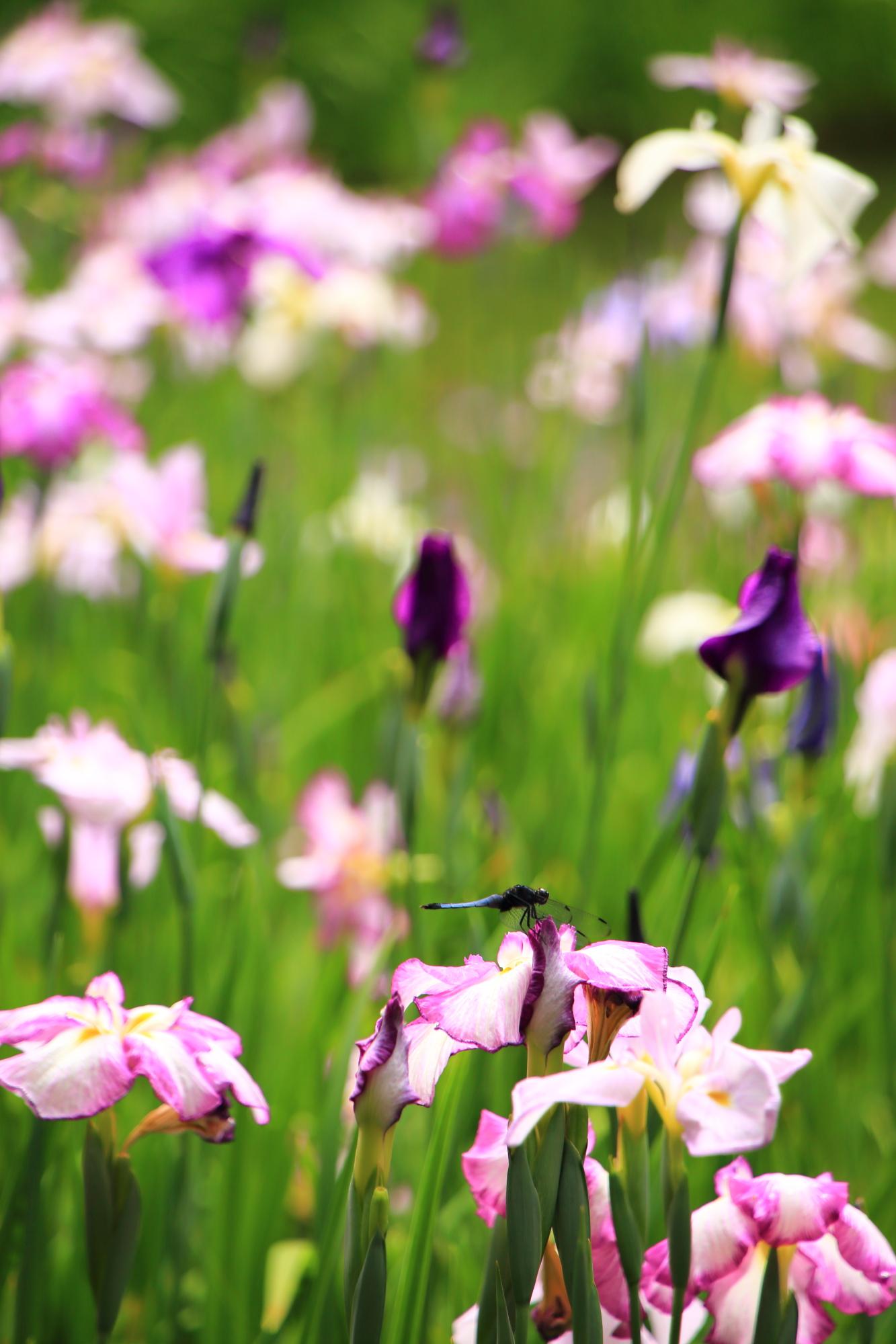 花菖蒲で休憩するトンボ