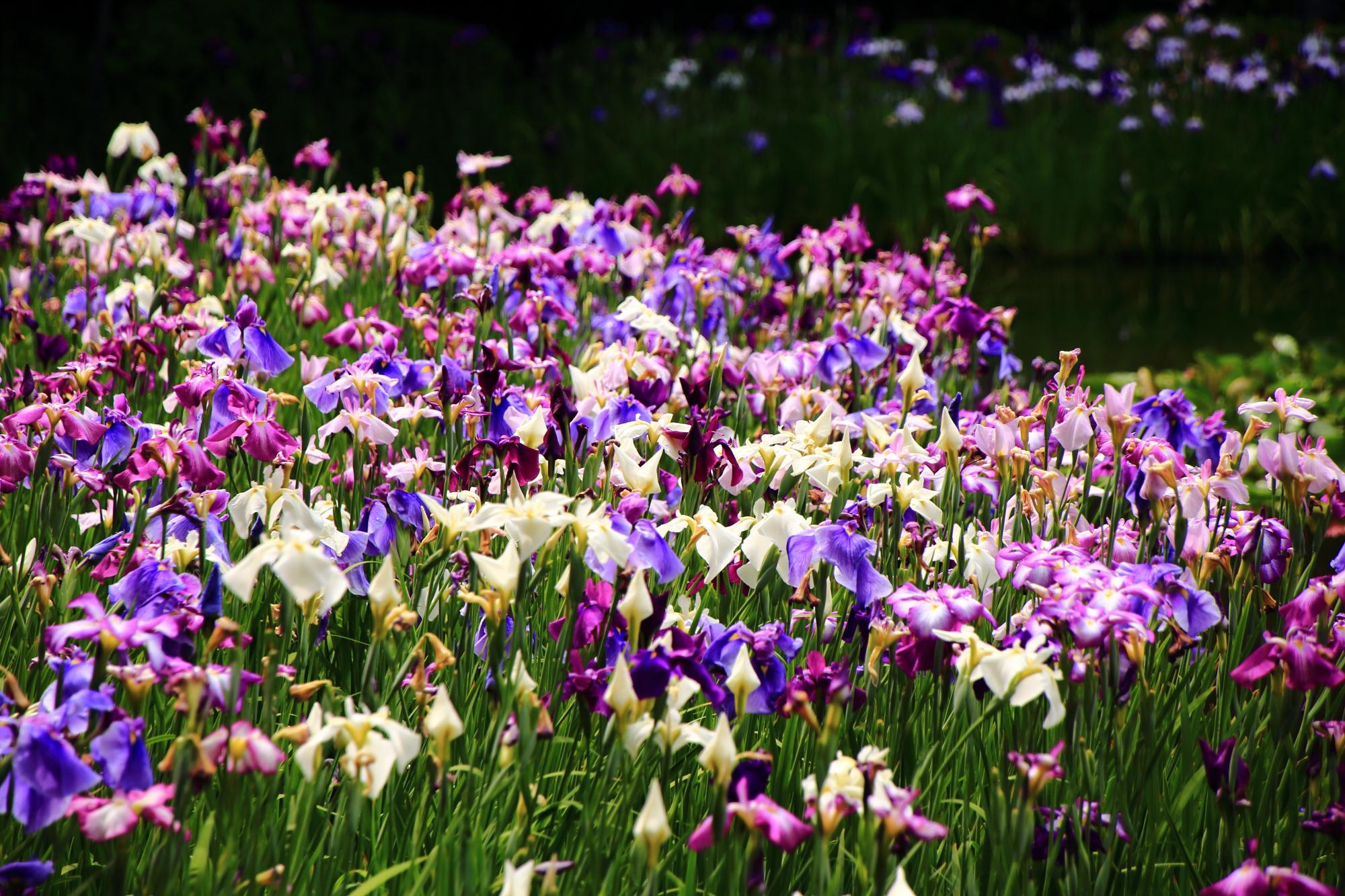溢れ出す多種多様な花しょうぶの初夏の彩り