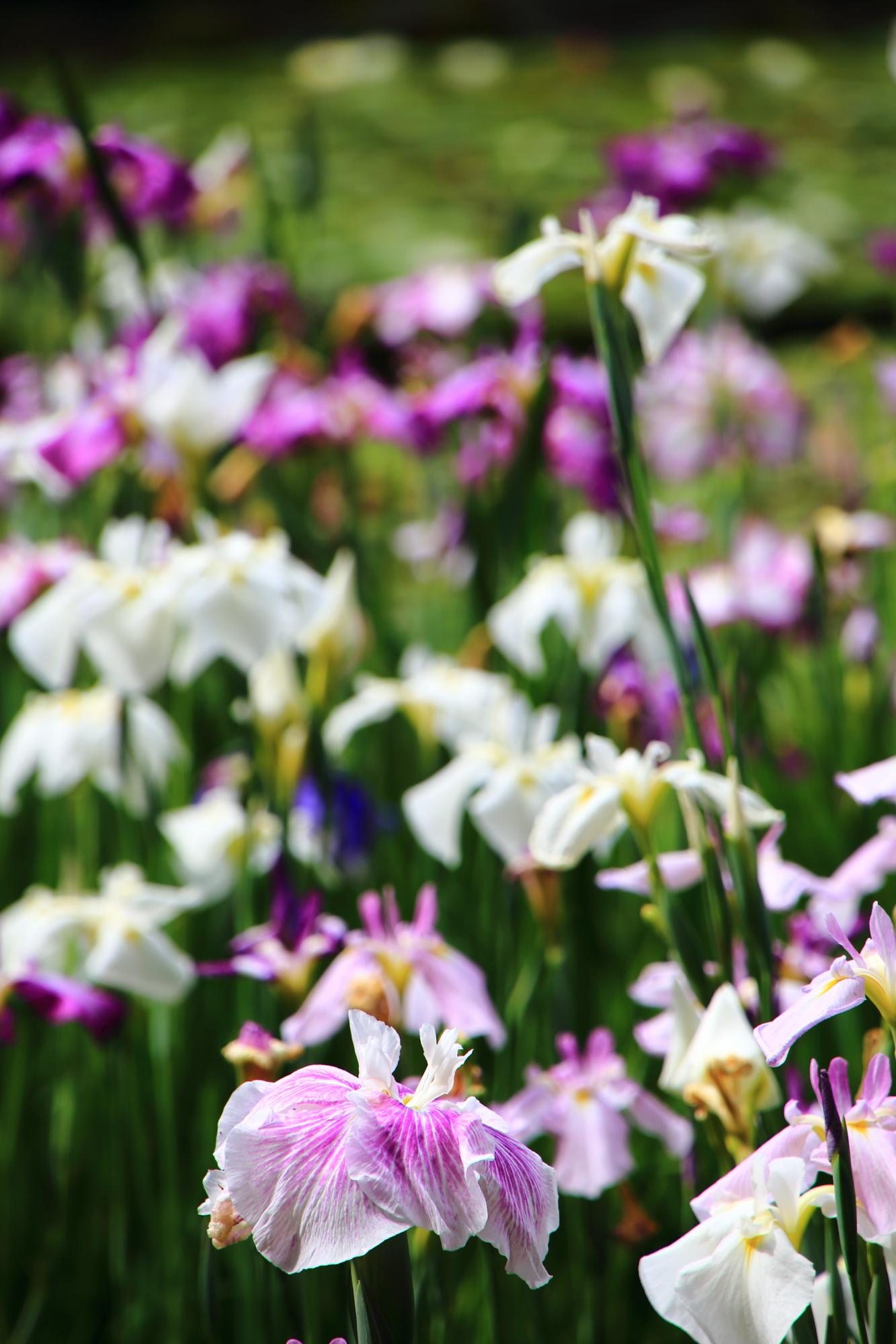 花びら一枚一枚が可憐で繊細なハナショウブの花