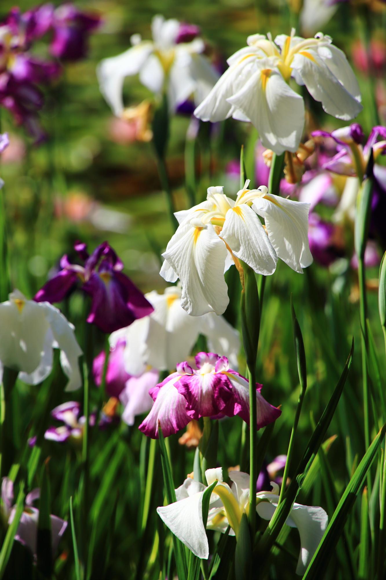 日が当たり輝く白や紫の平安神宮の花菖蒲