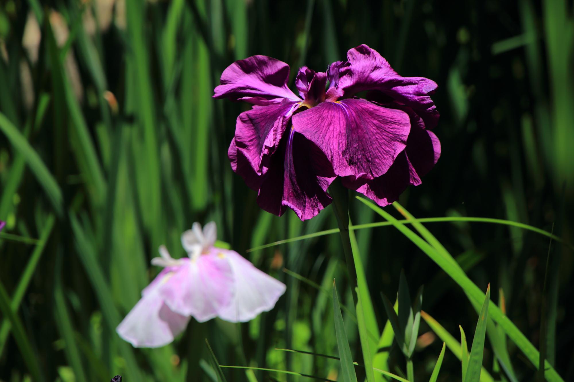 梅宮大社の鮮やかで妖艶な色合いの花菖蒲
