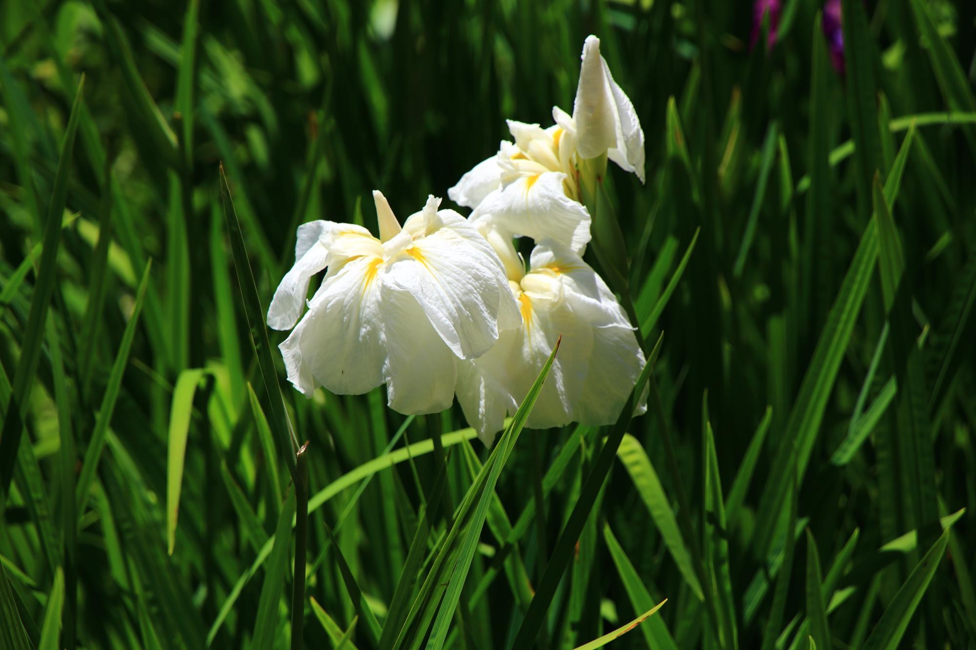 梅宮大社の緑の中で華やかに輝く花菖蒲