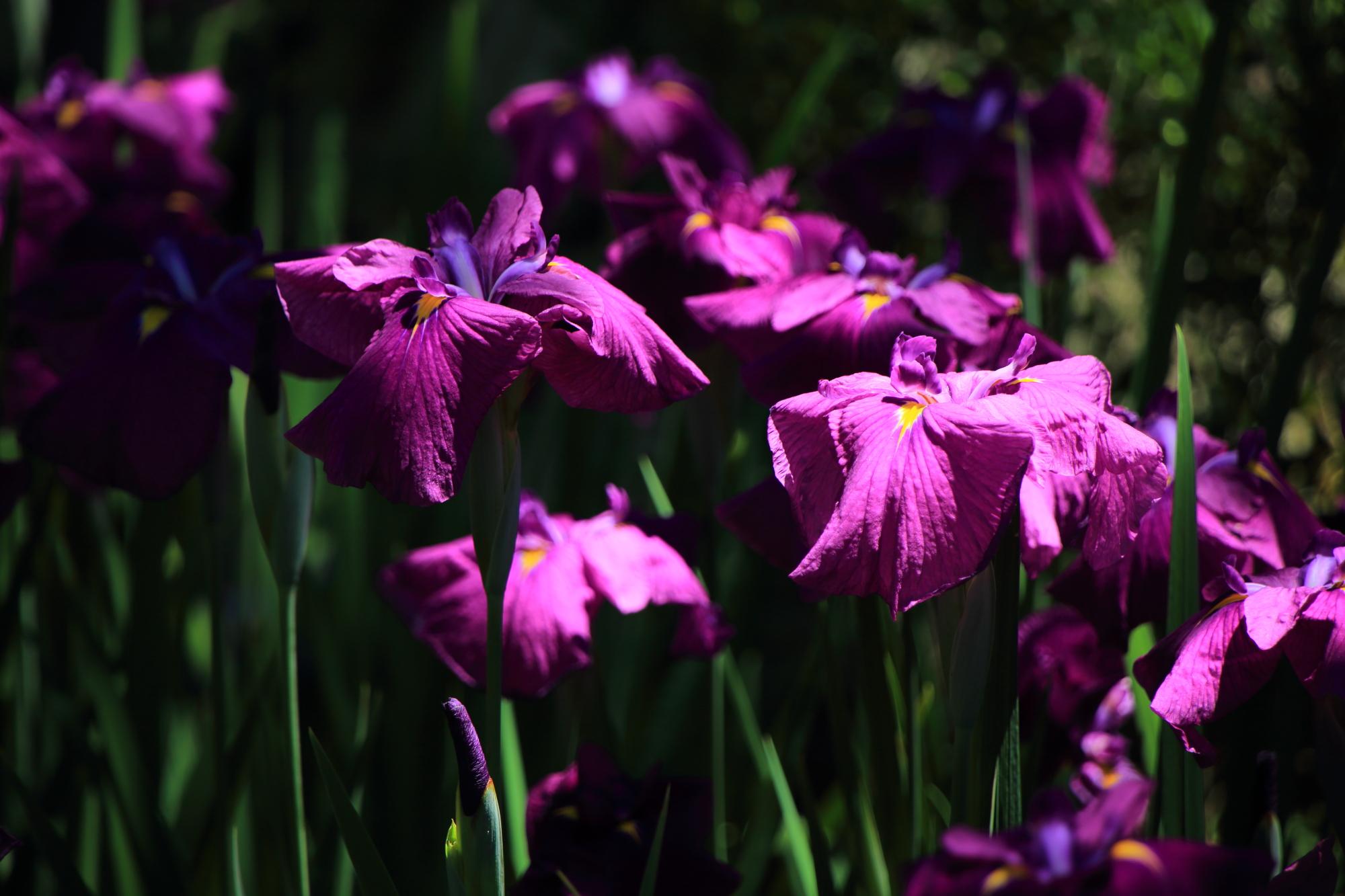 太陽を浴びて煌く花菖蒲
