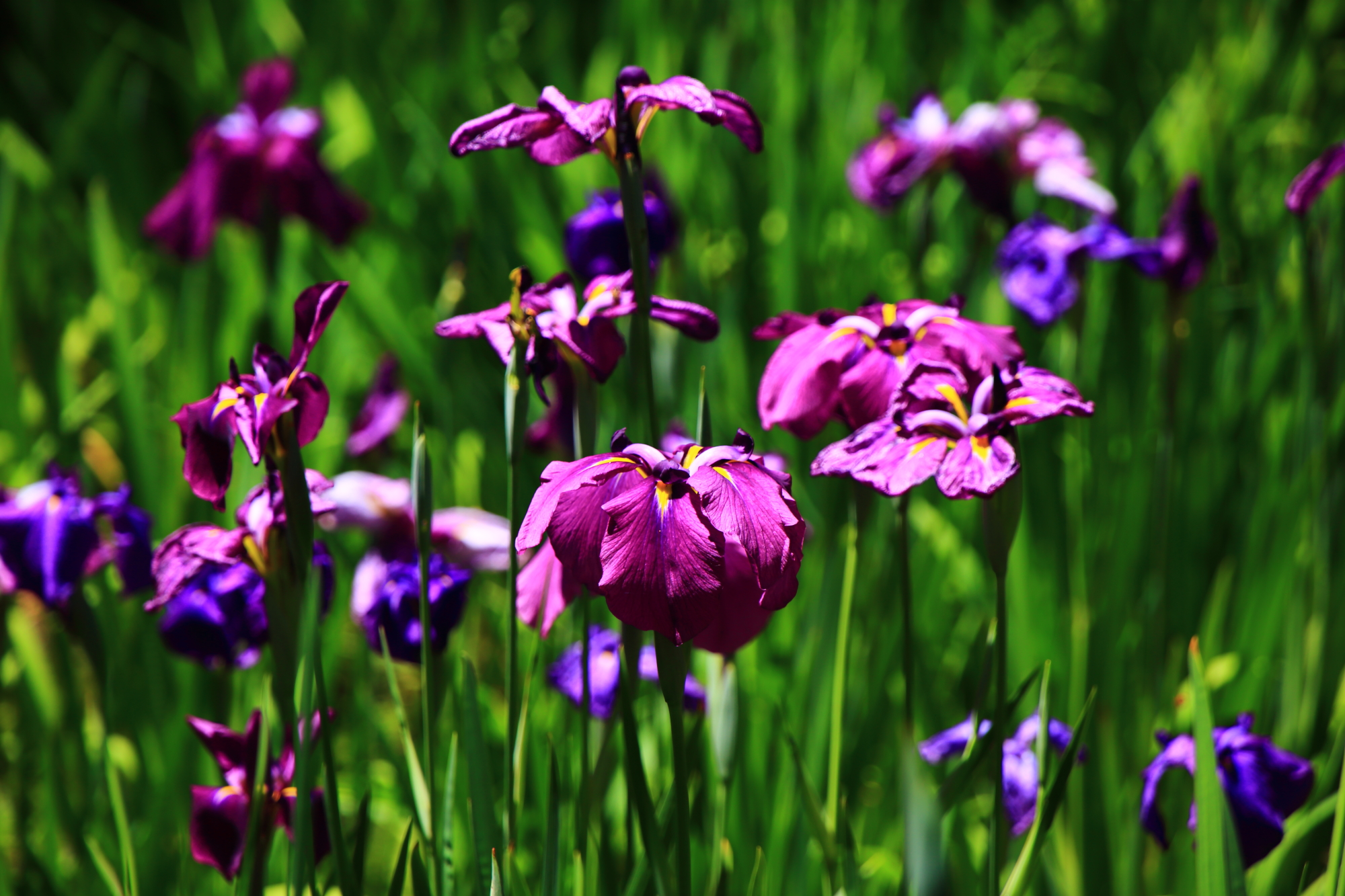 日が差して煌びやかに咲き誇る花菖蒲