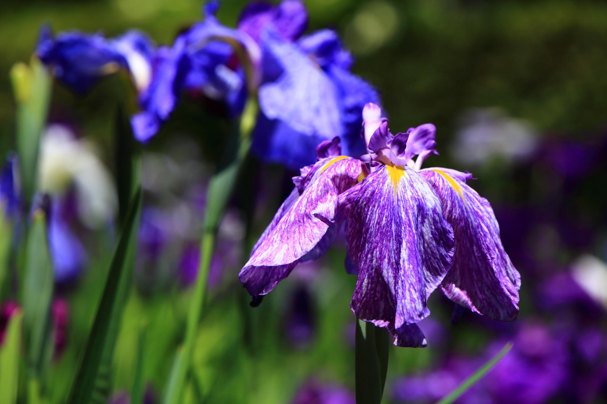 花びら一枚一枚非常に細かな模様が出来ている花ショウブ