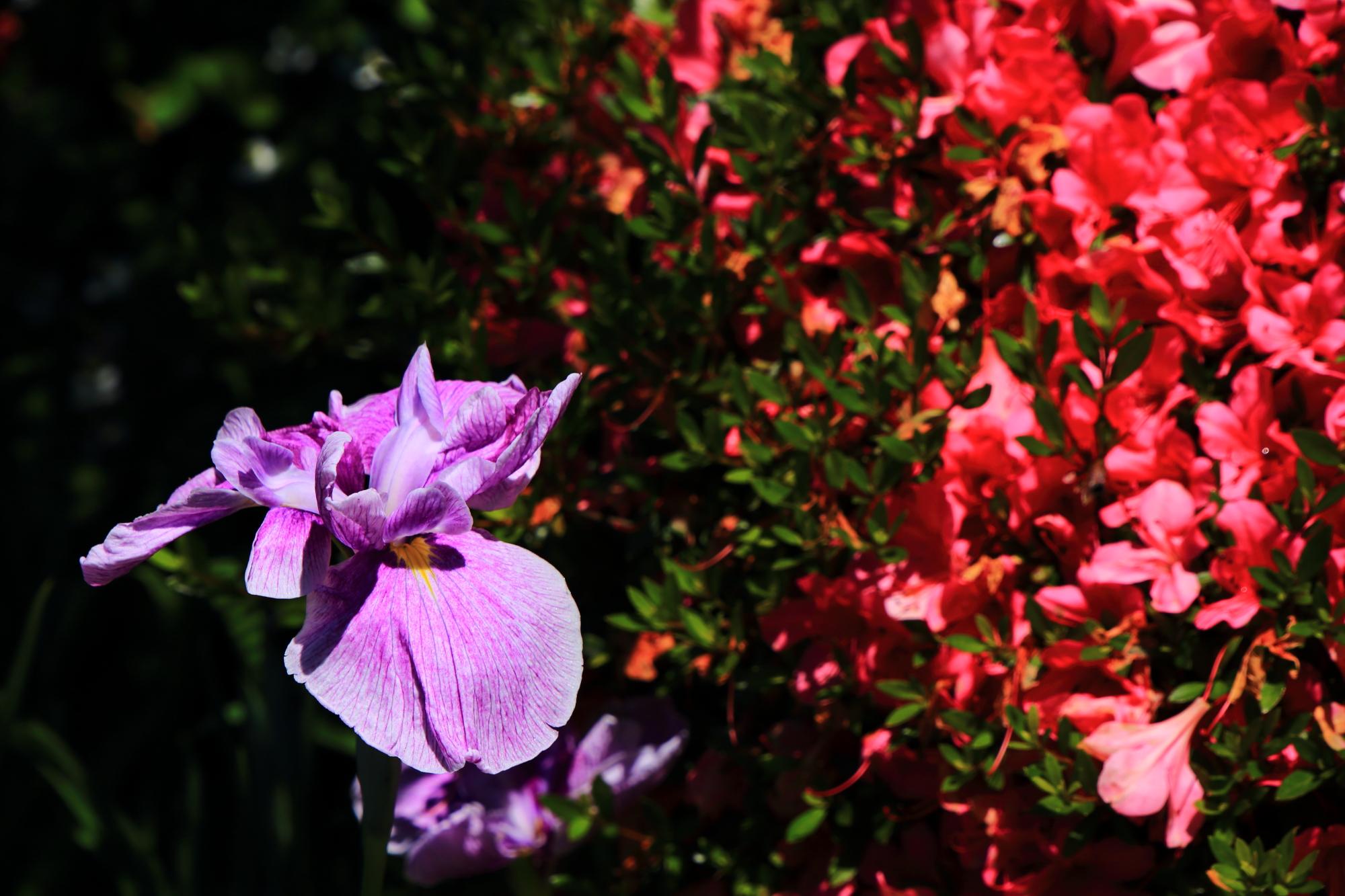 梅宮大社の鮮やかな赤いツツジと華やかな大輪の花菖蒲