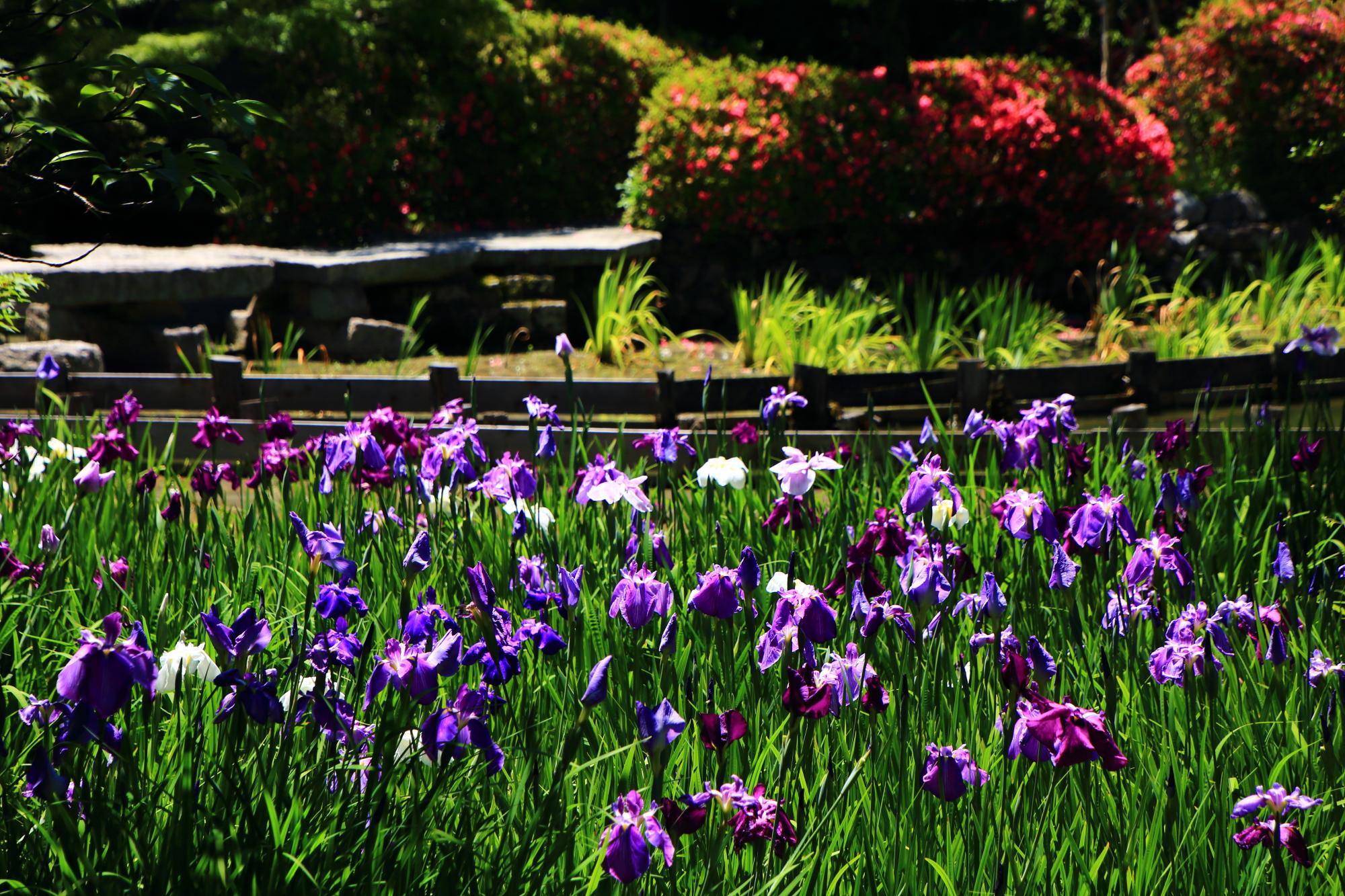 輝く花菖蒲で賑やかな梅宮大社の咲耶池