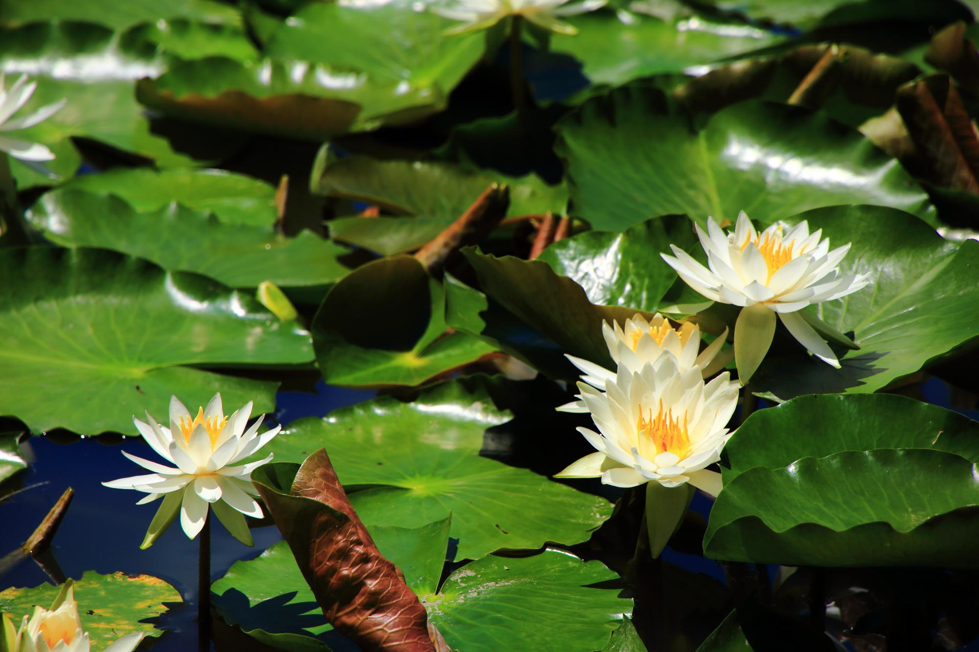 梅宮大社の水辺を華やぐ美しい緑の葉と白い花
