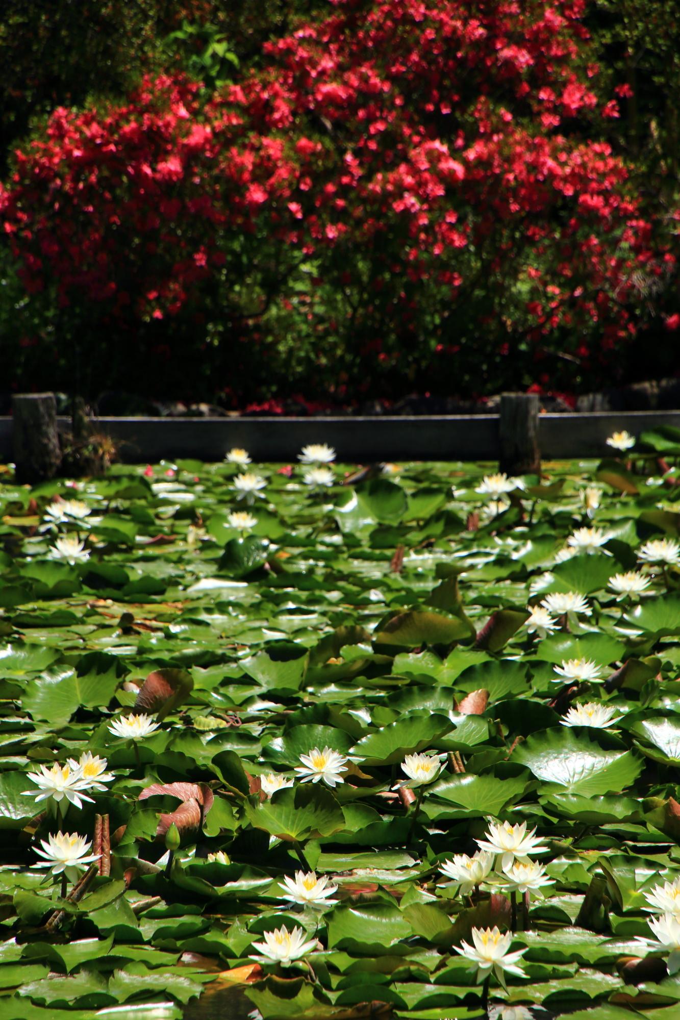 梅宮大社の鮮烈な赤さのツツジと爽やかな白い睡蓮のコラボ