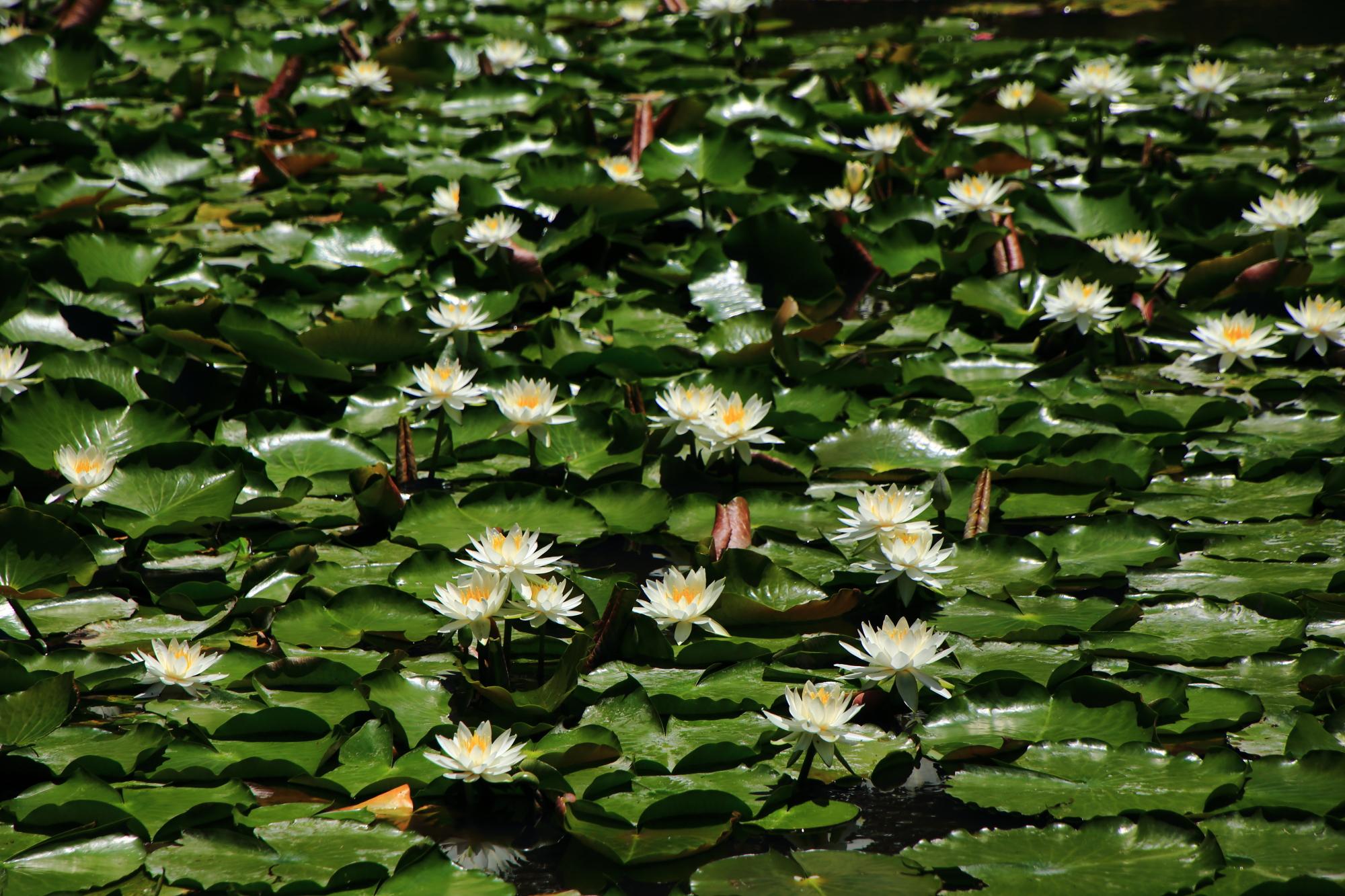 水面を上品に彩る梅宮大社の白い睡蓮