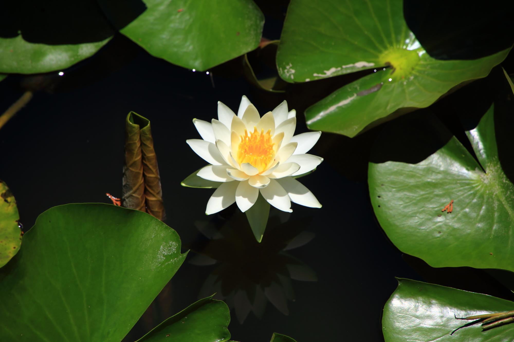 弾けんばかりに咲き誇る梅宮大社の見事な睡蓮の花