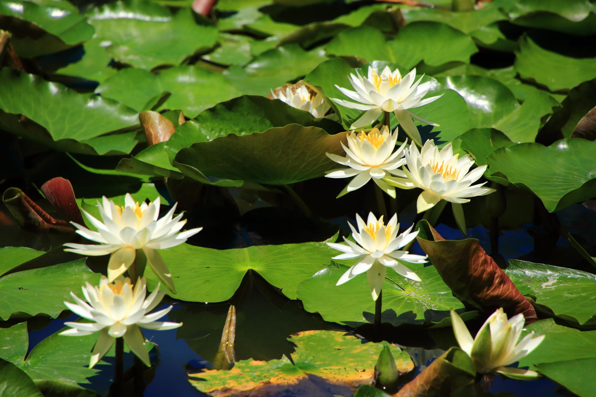 水面ギリギリではなく少し高い位置で咲く睡蓮