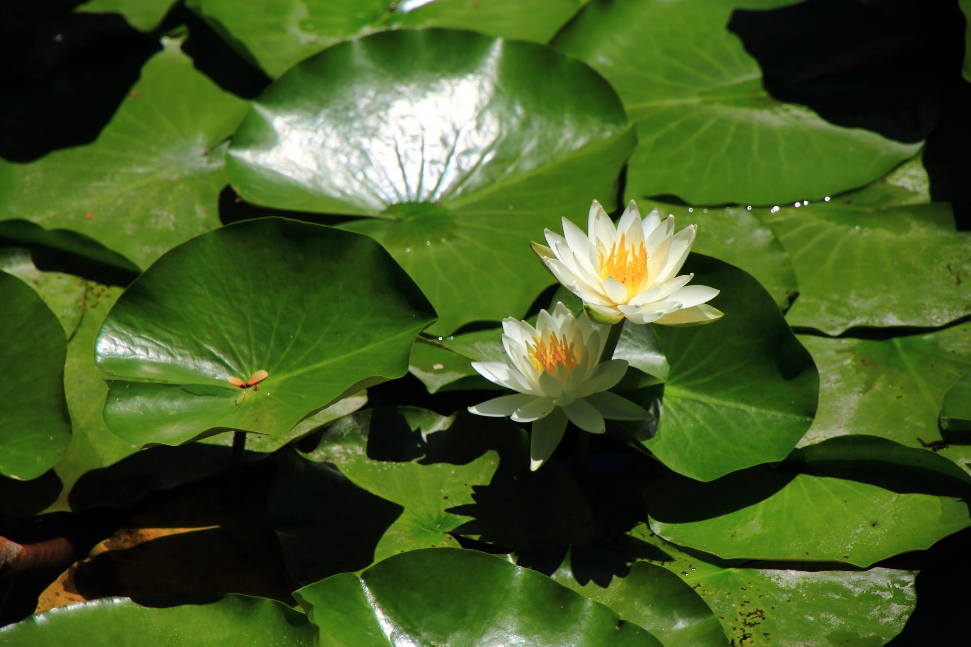 緑の丸い葉があってこそ美しい睡蓮の花