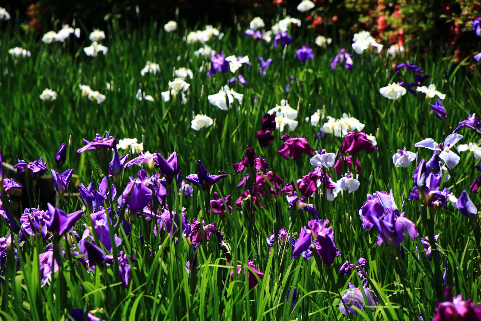 色とりどりの花菖蒲で溢れる初夏の梅宮大社の神苑