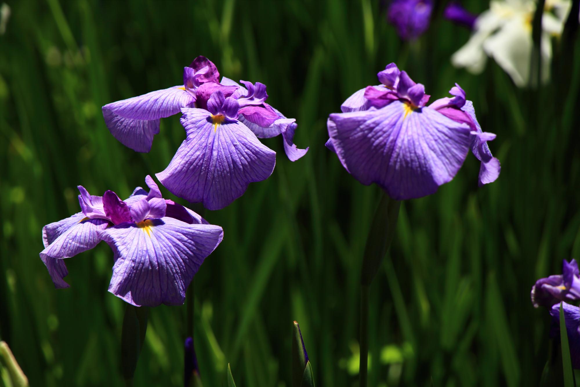 水辺を優しく彩る薄い紫の花菖蒲