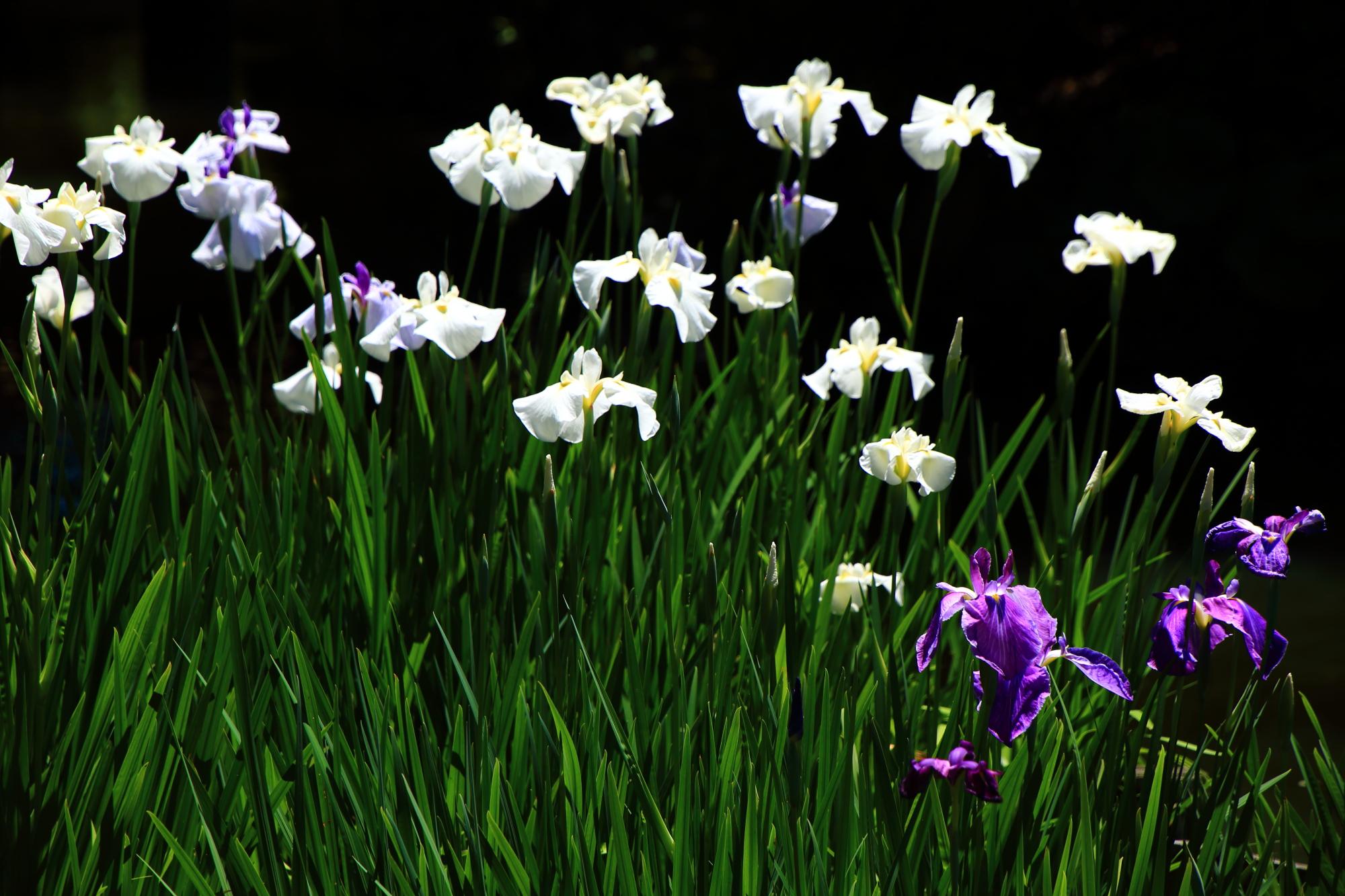 影の中で輝く白い花菖蒲