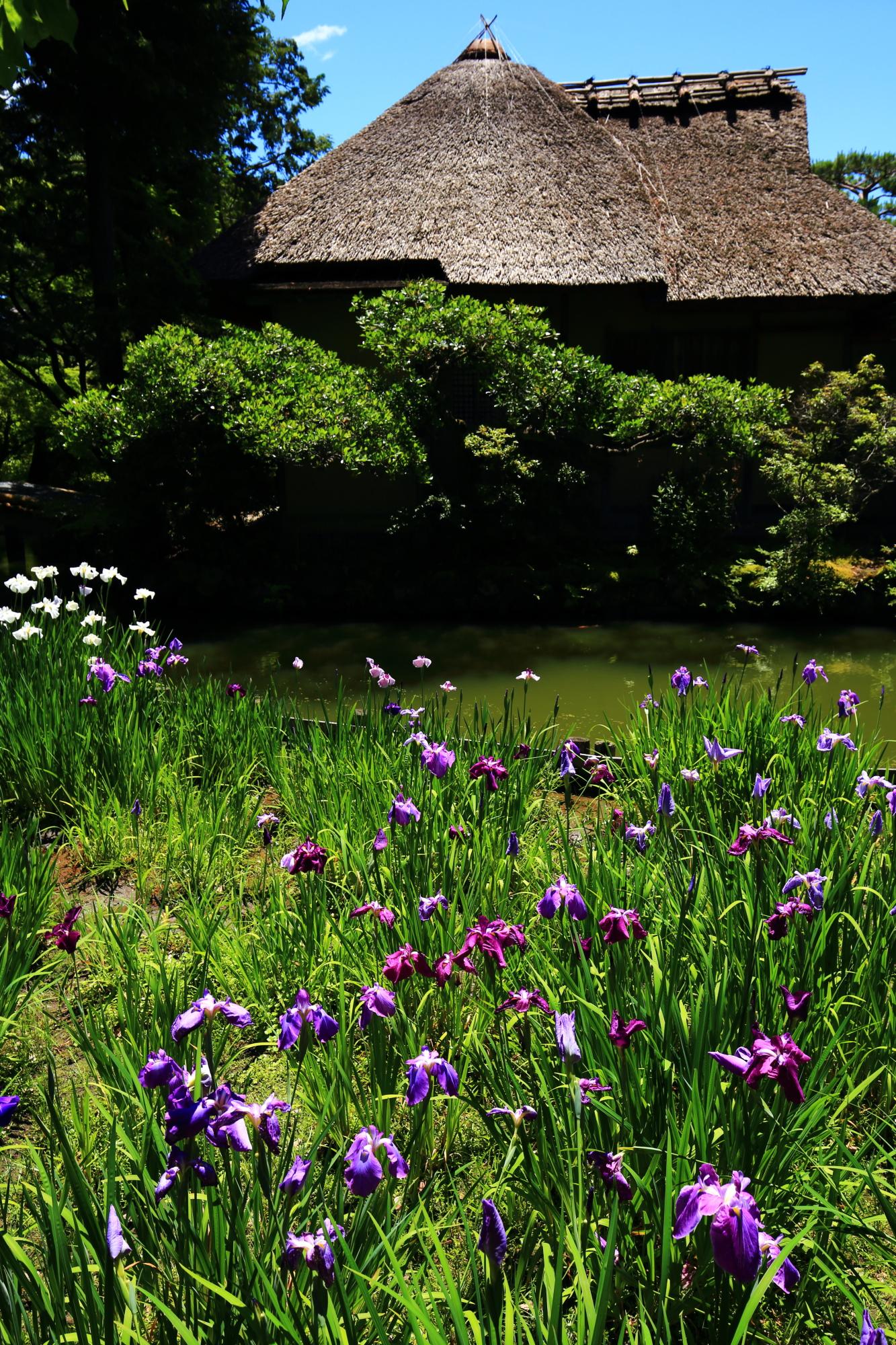 梅宮大社の東神苑の咲耶池と池中亭付近の花菖蒲