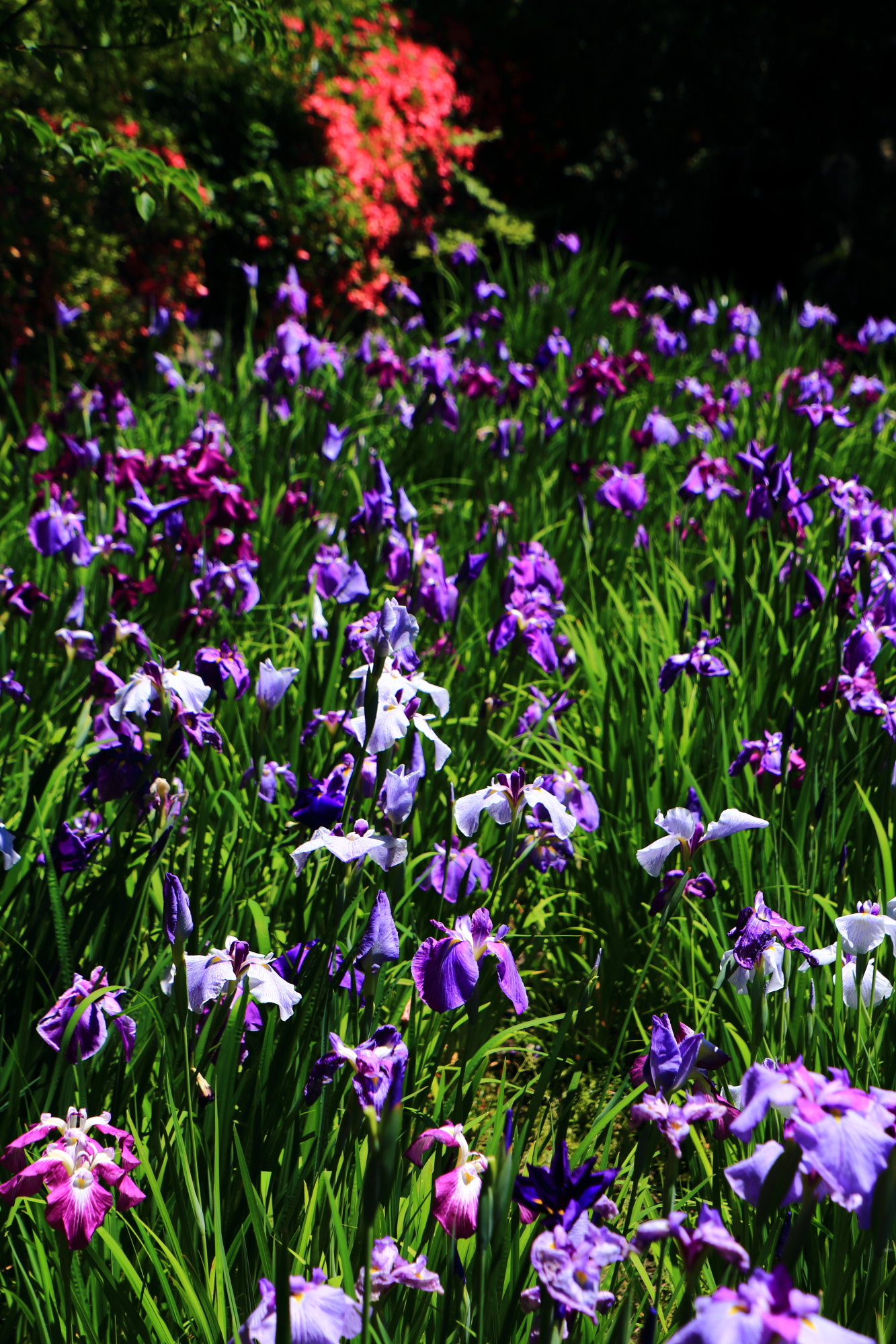 見事な初夏の彩りにつつまれる梅宮大社の咲耶池