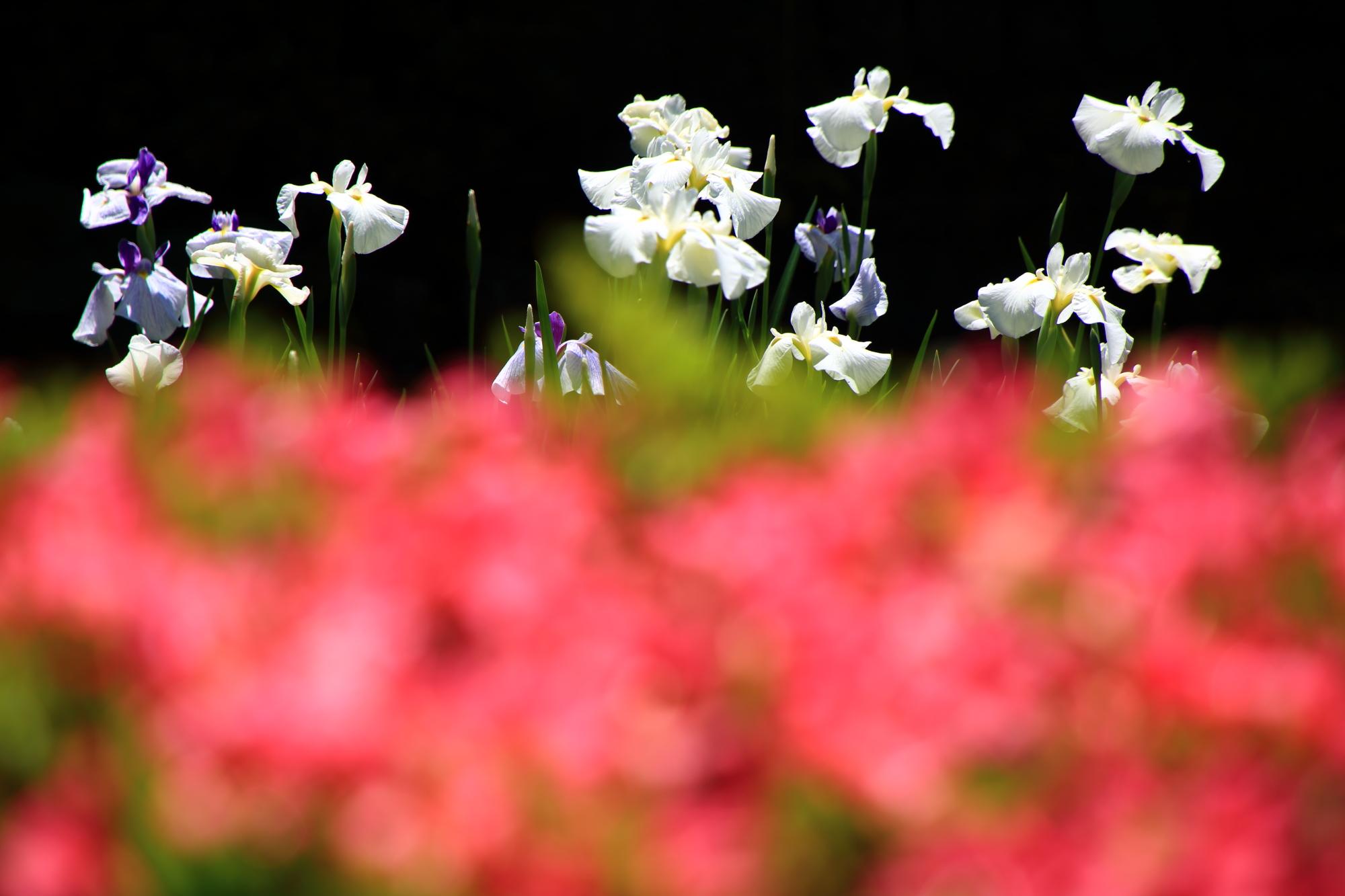 赤いツツジの向こうで元気に咲く白い花菖蒲