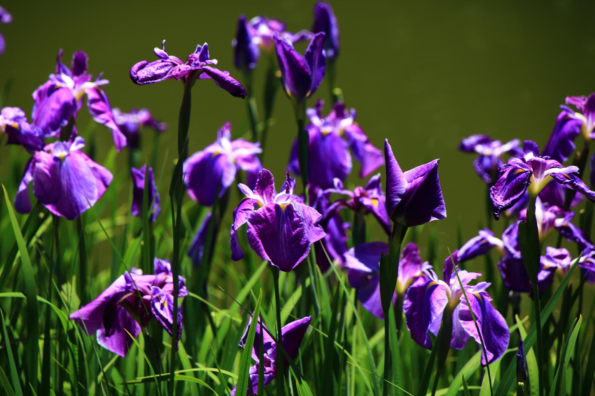 梅宮大社の煌く艶やかな紫の花菖蒲
