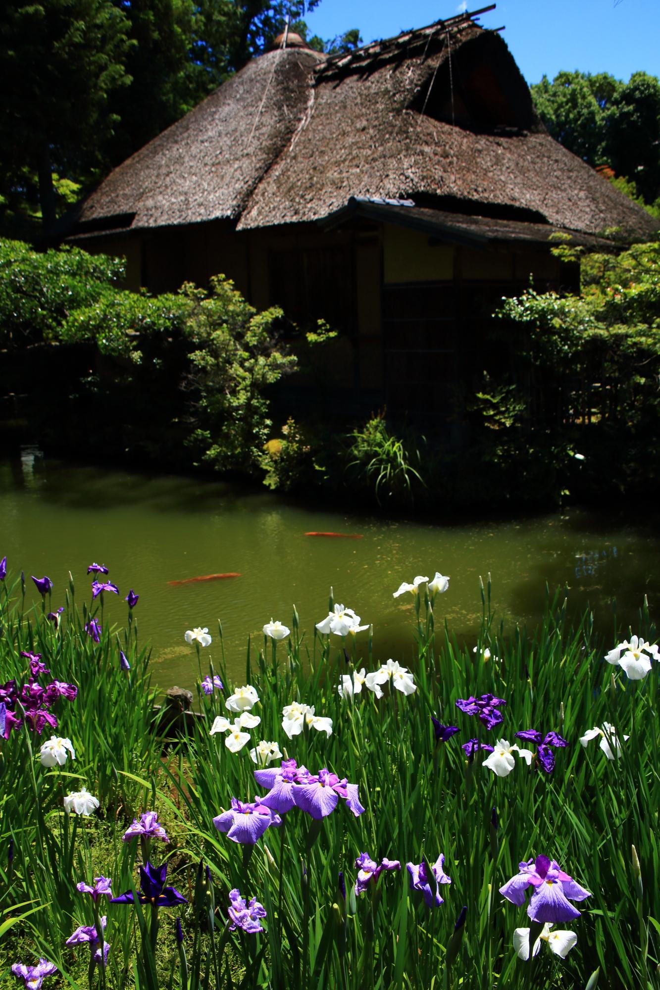 華やかな花菖蒲につつまれる池中亭