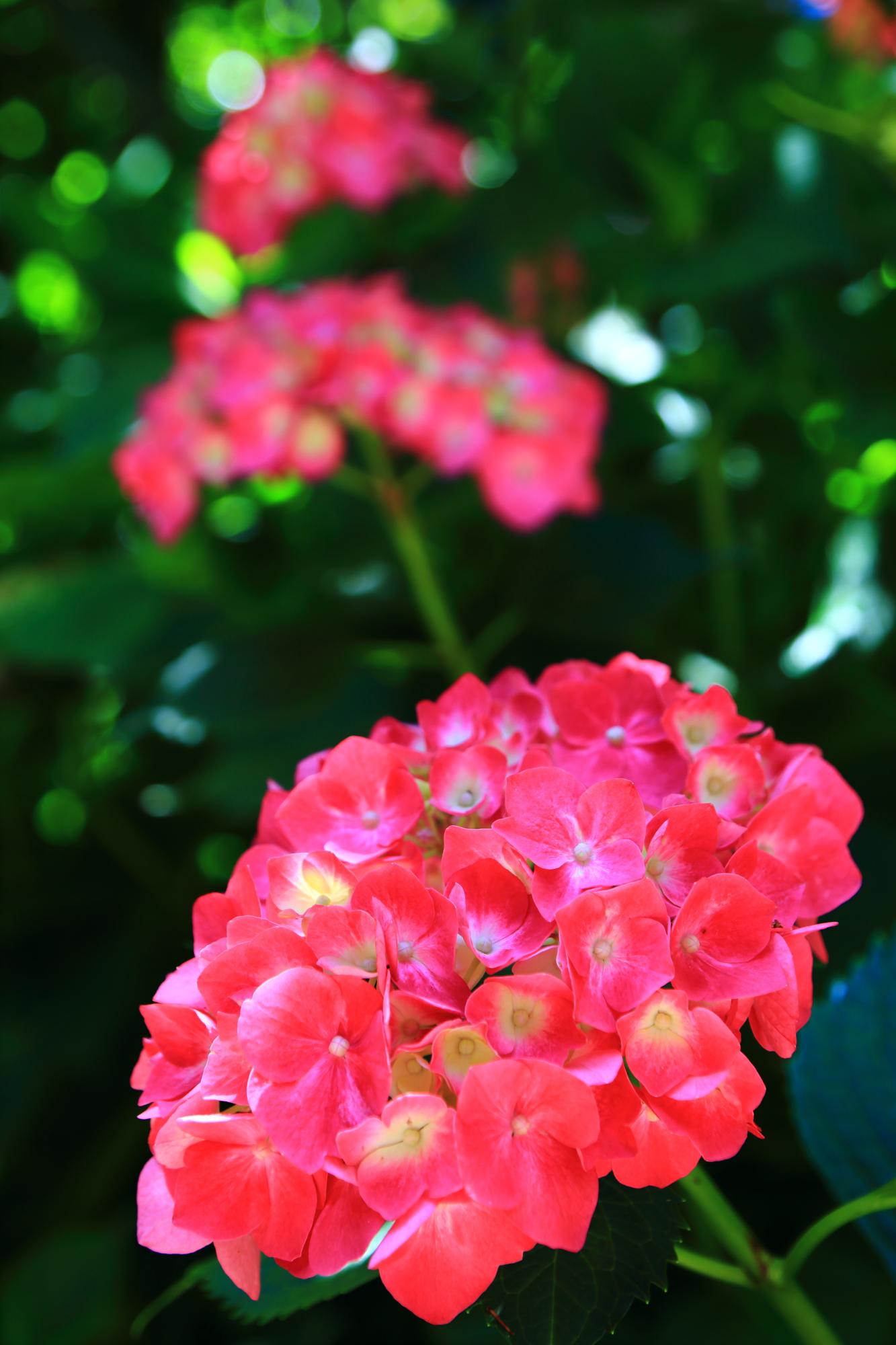 目を引くような華やかな朱色の紫陽花