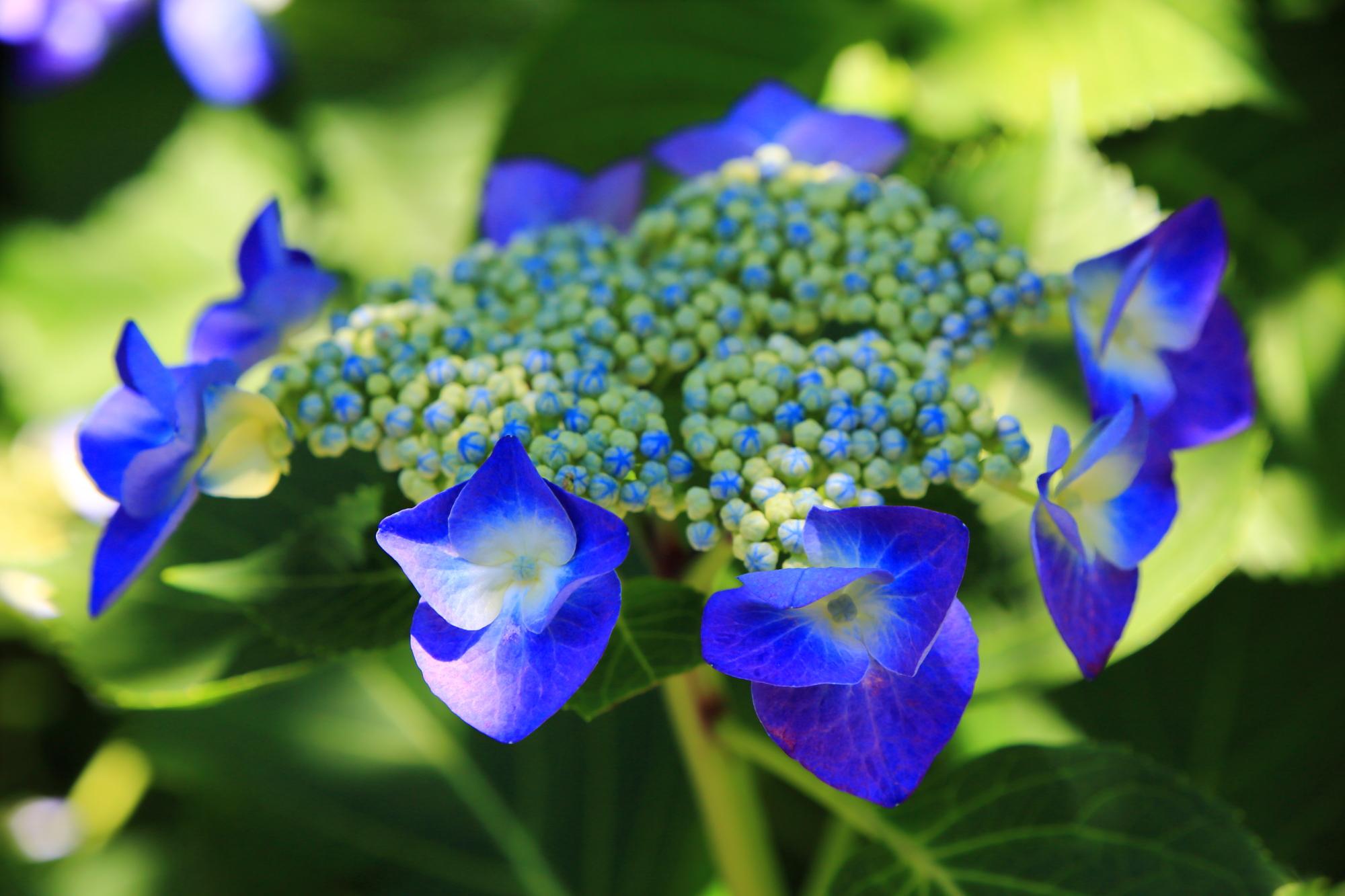 梅宮大社の鮮やかな青の額紫陽花(ガクアジサイ)