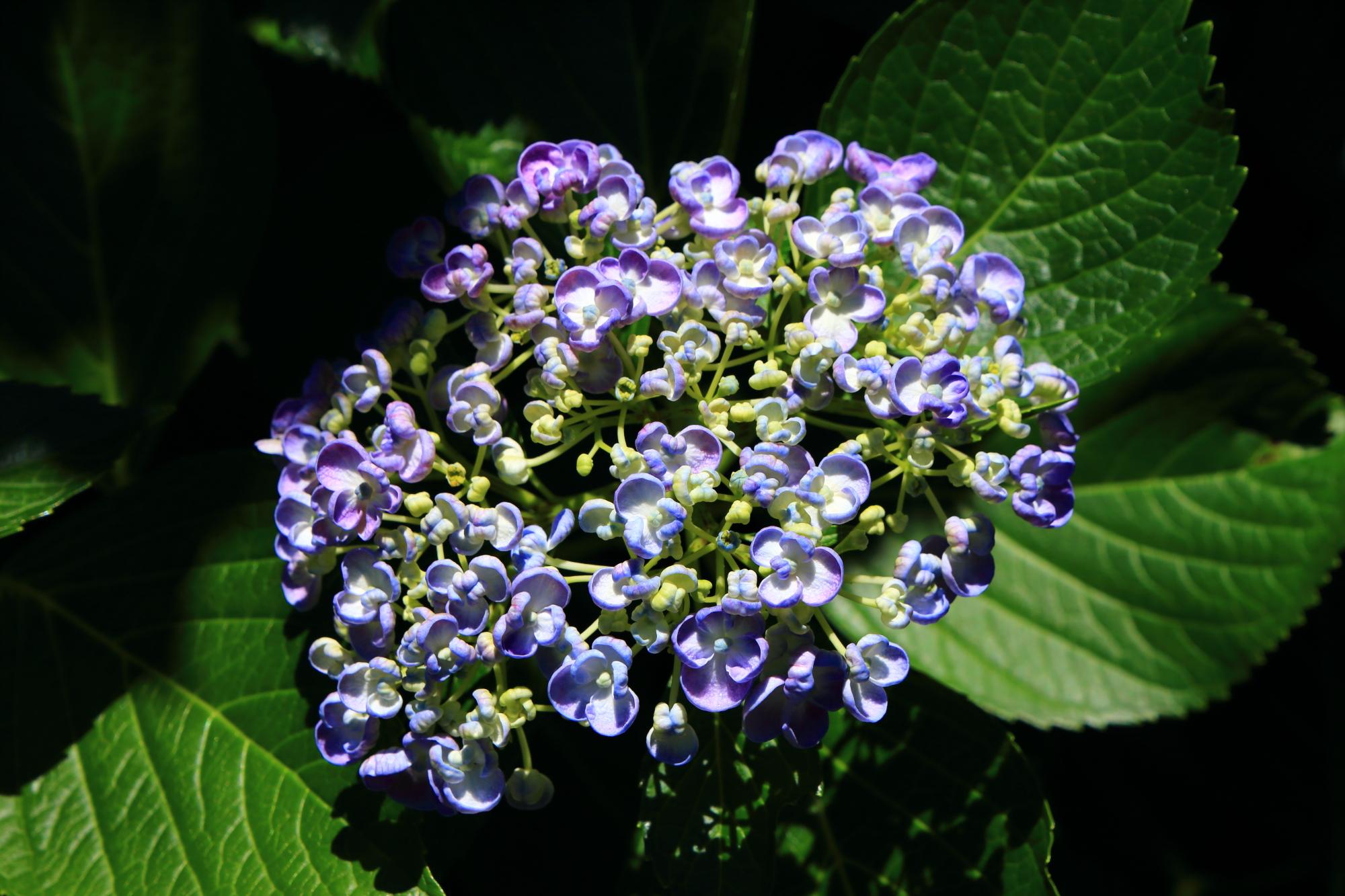 花が小さい粒のようなおたふく紫陽花
