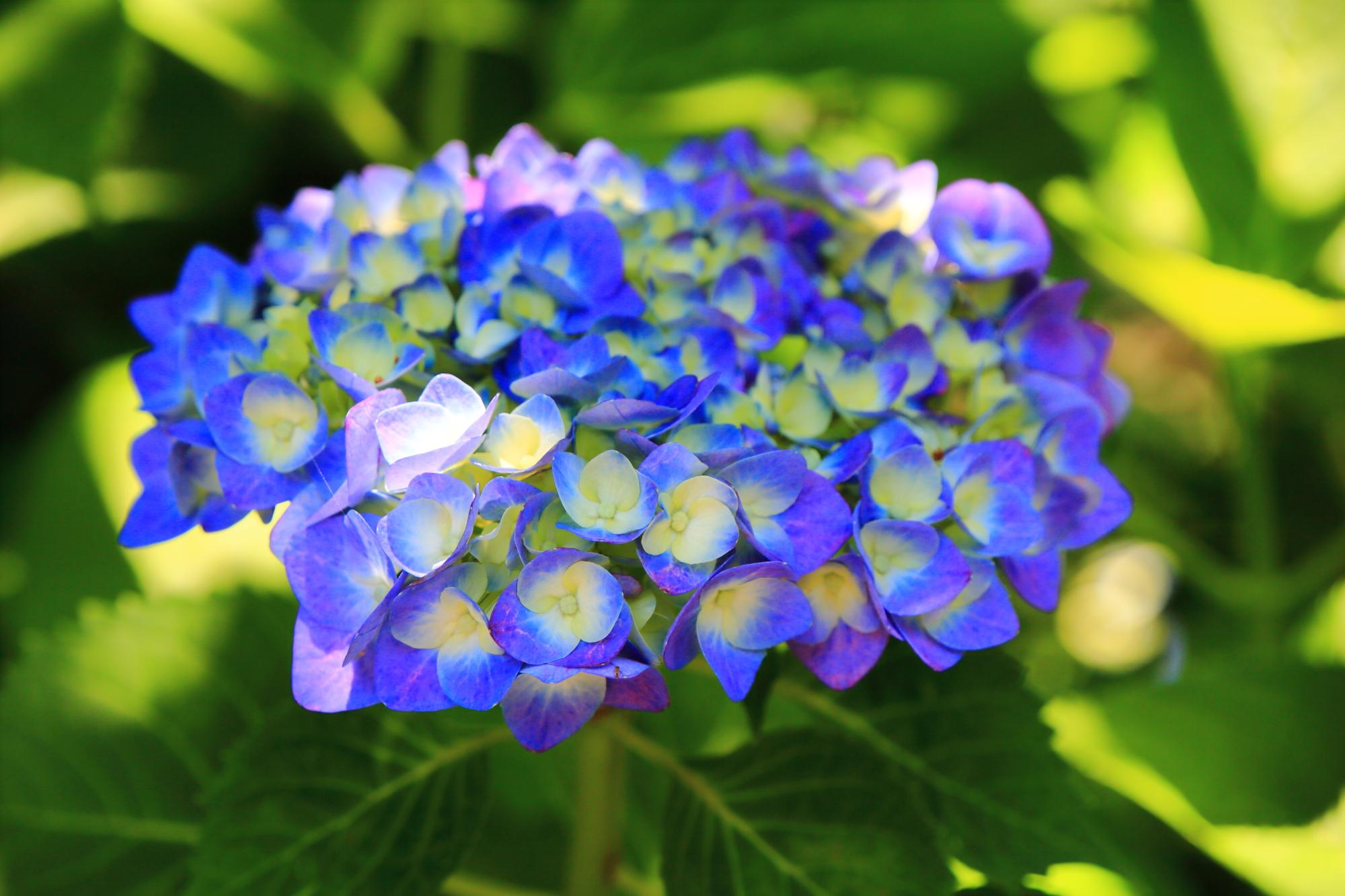 梅宮大社の爽やかな青と紫の混ざった紫陽花