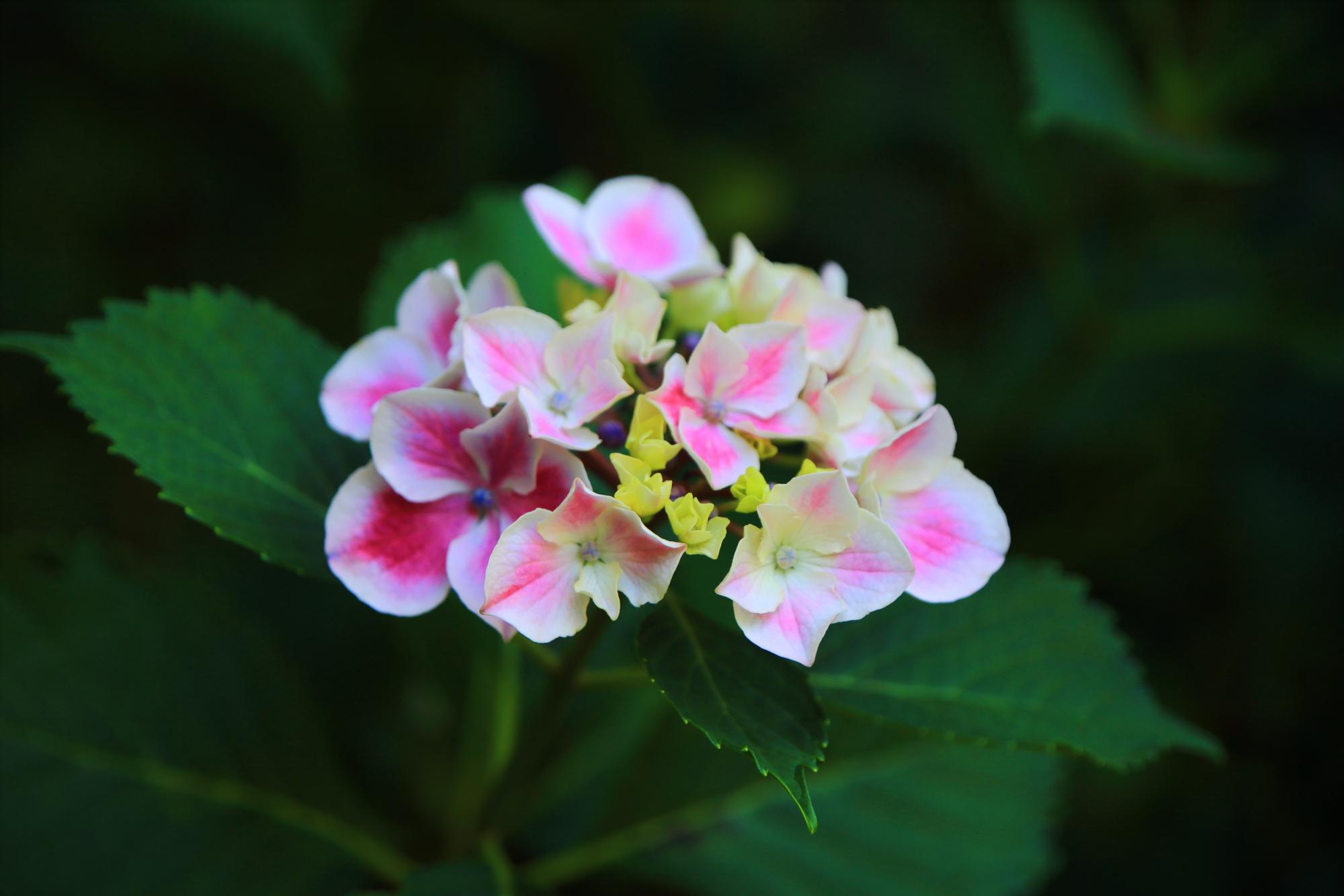 梅宮大社のピンクと白の可愛いすぎる紫陽花