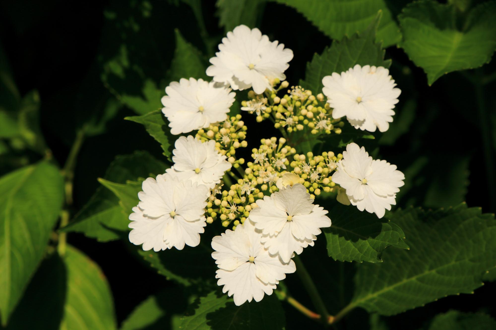 少しクリーム色っぽい白の額紫陽花