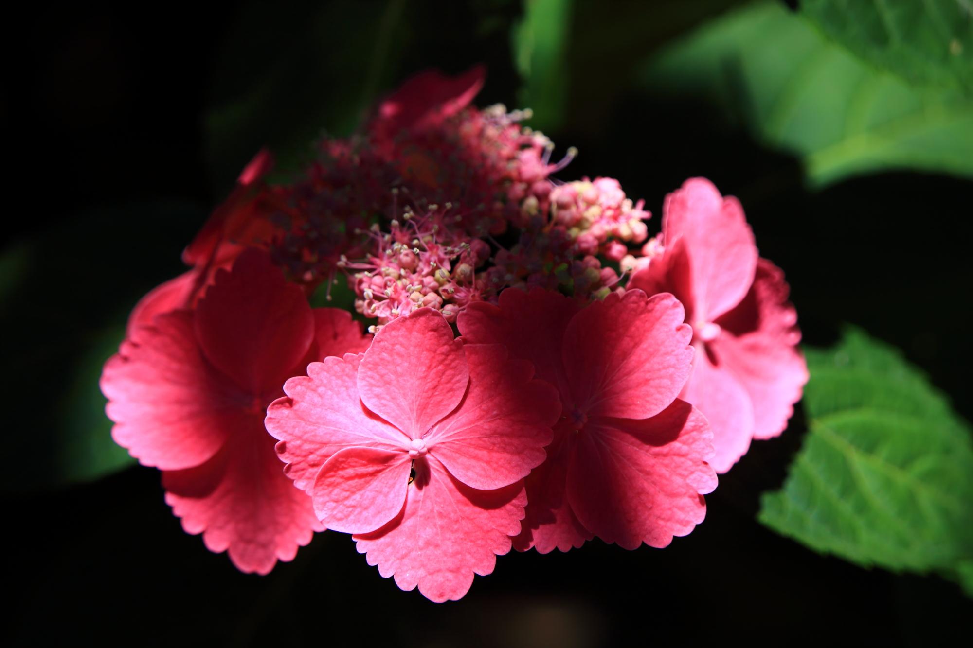 梅宮大社の濃いピンクの鮮やかな色合いの紫陽花