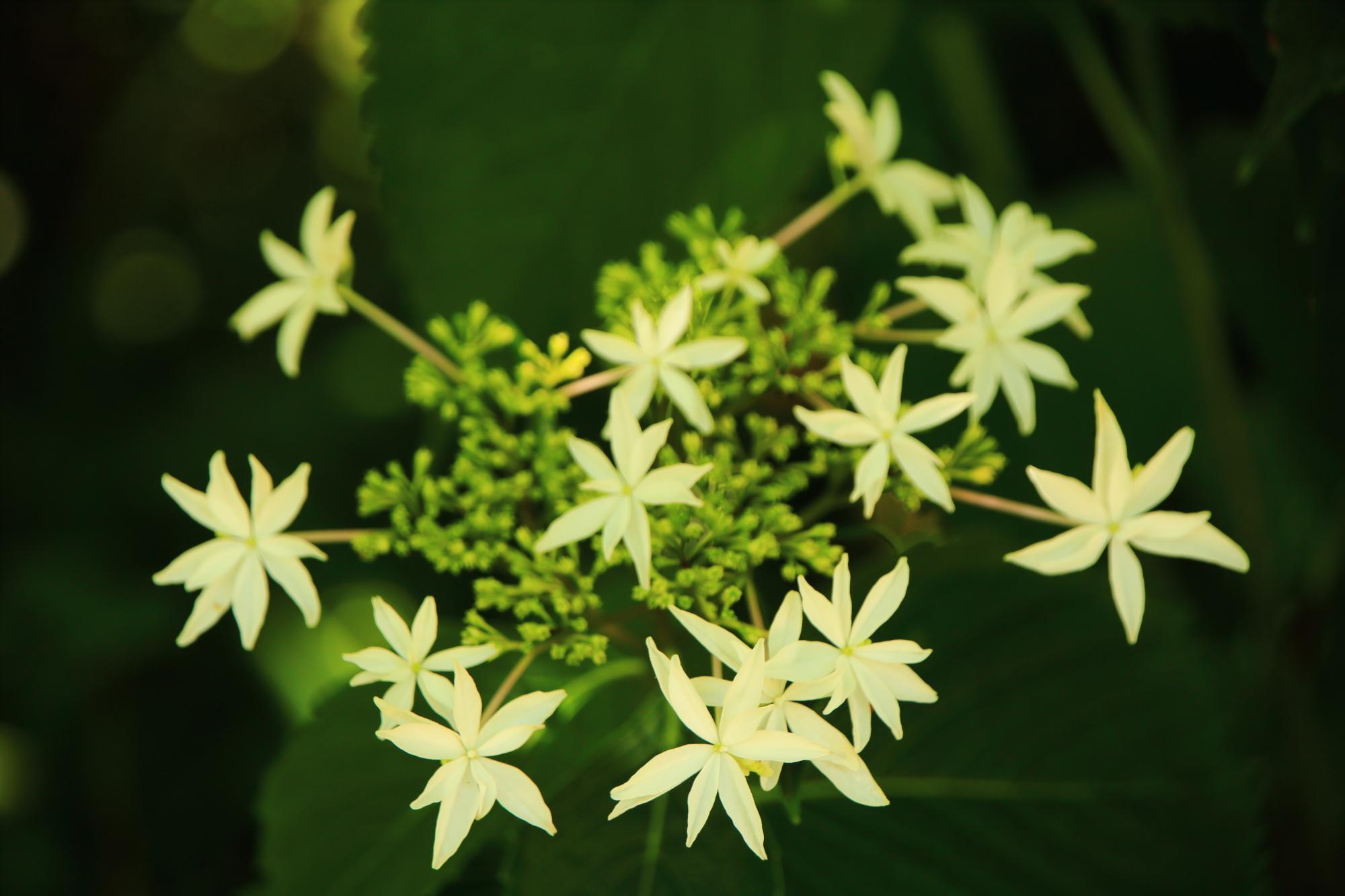 梅宮大社の淡い黄色の星紫陽花(ホシアジサイ)