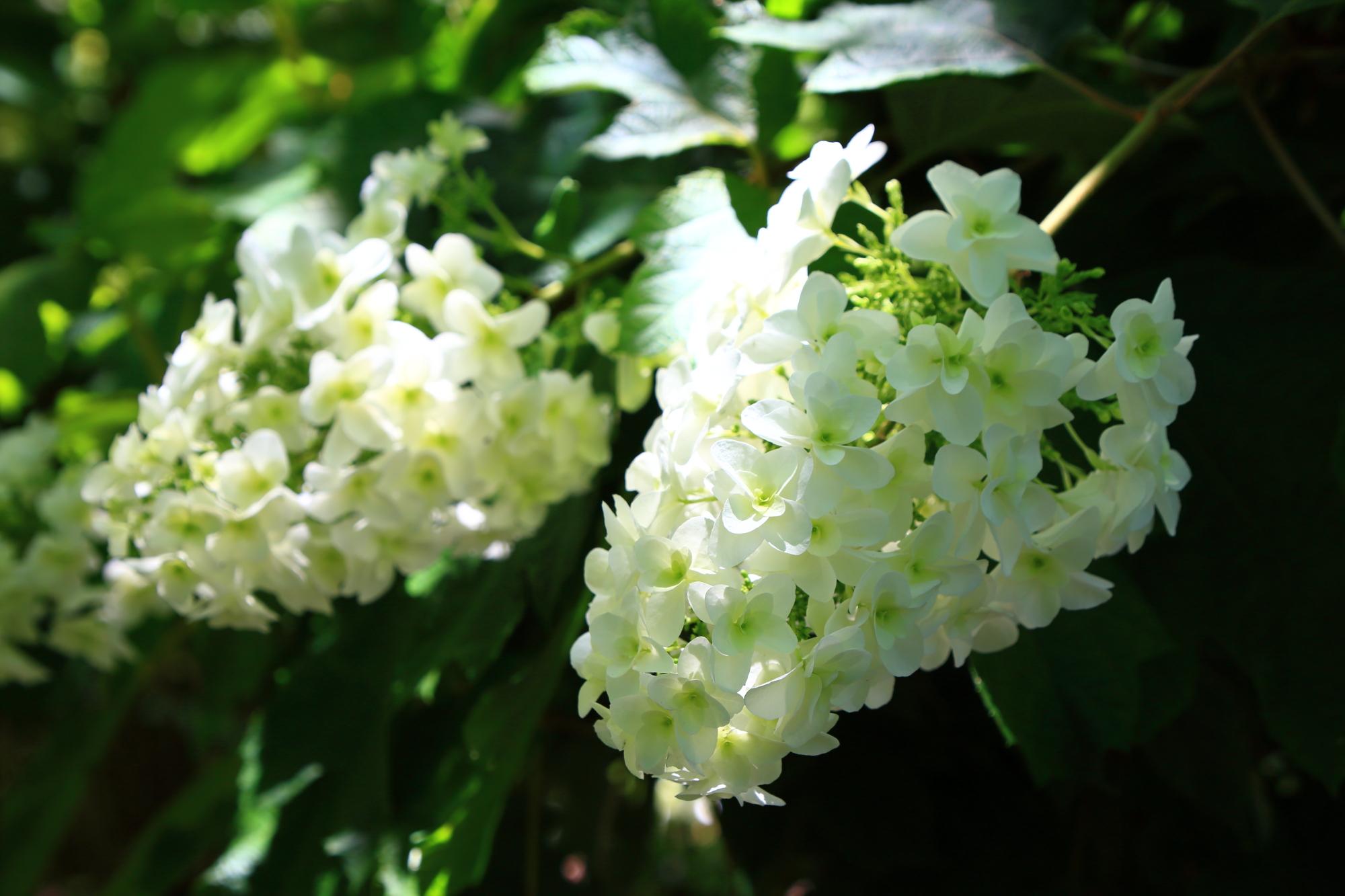 グリーンがかった爽やかな白いカシワバアジサイ
