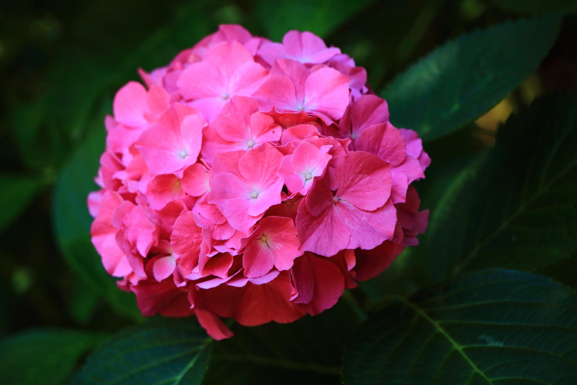 梅宮大社のオーソドックスな濃いピンクのアジサイ