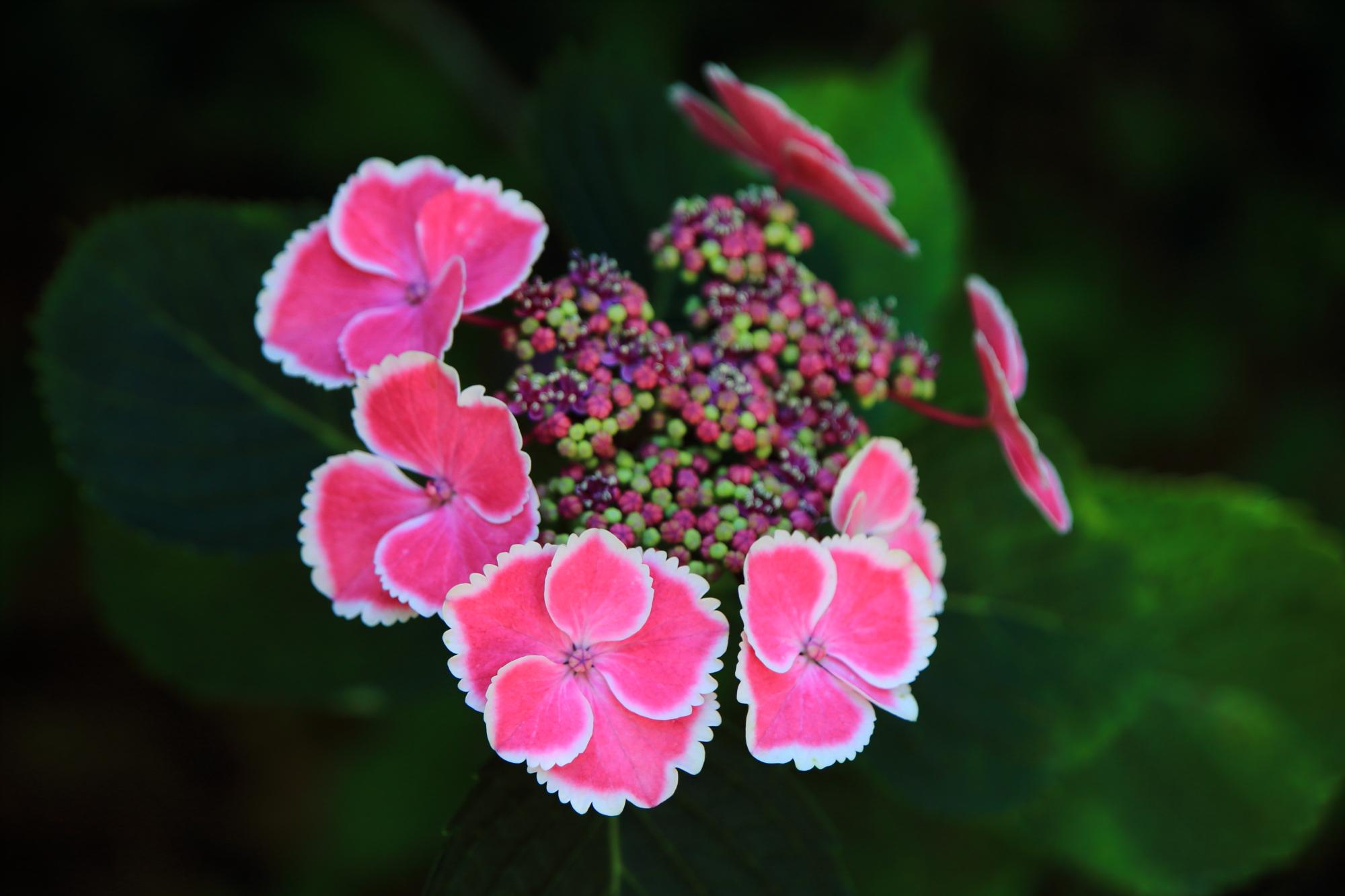 淵が白の鮮やかなピンクの額紫陽花