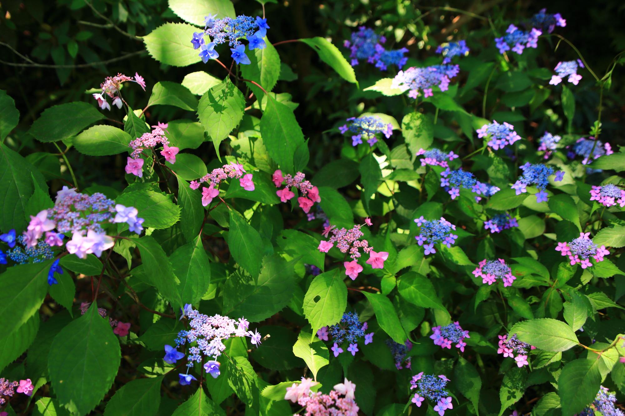 梅宮大社の色とりどりに咲く賑やかな額紫陽花