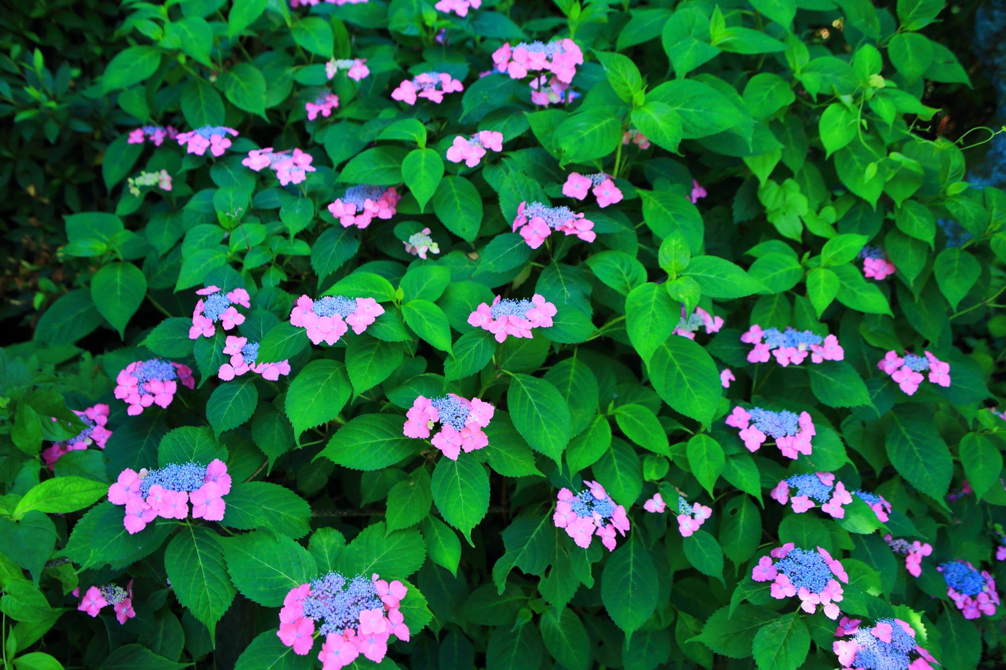 青とピンクの独特の色合いの額紫陽花