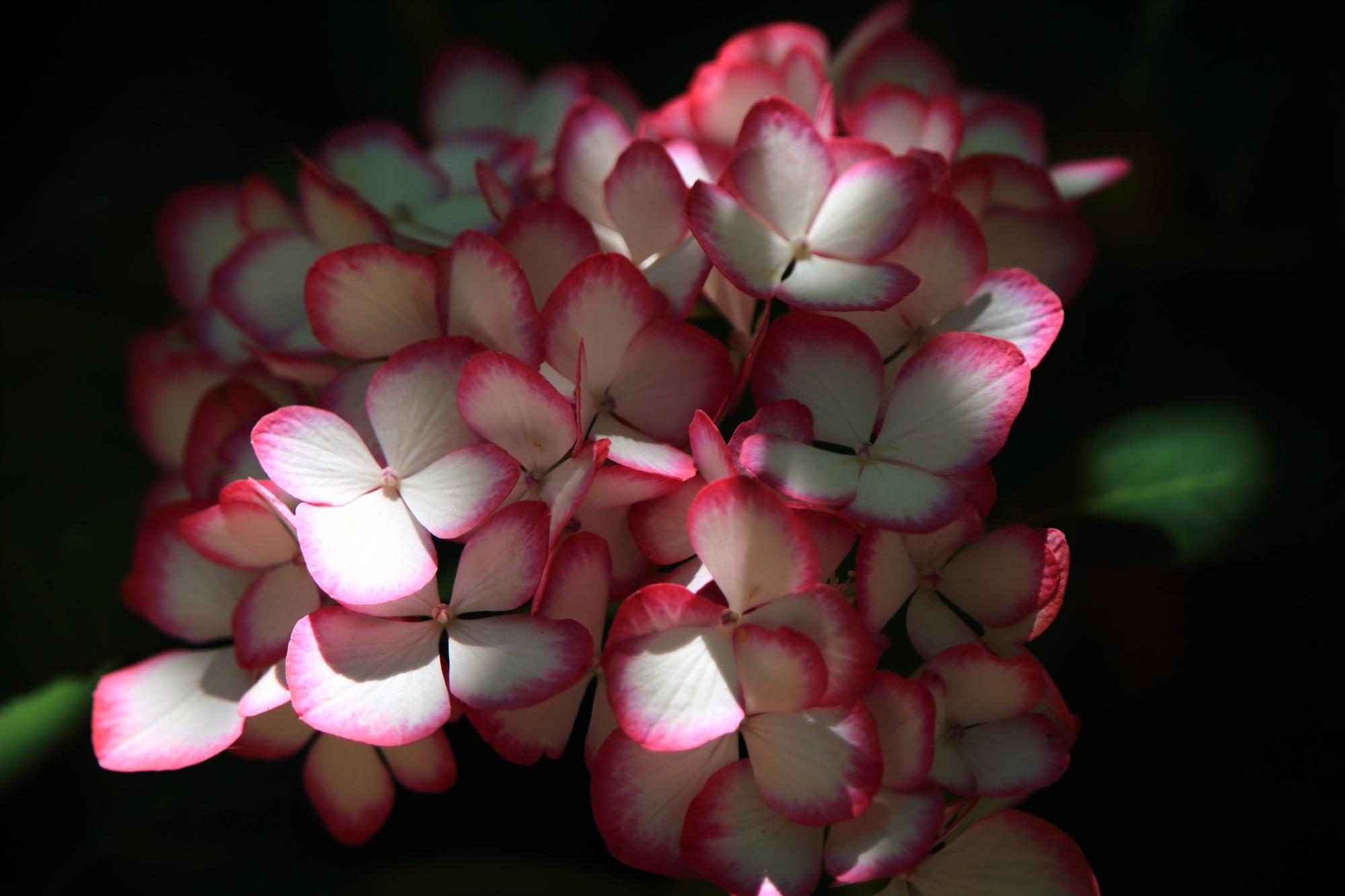 紫陽花を演出する良い感じに当たる光