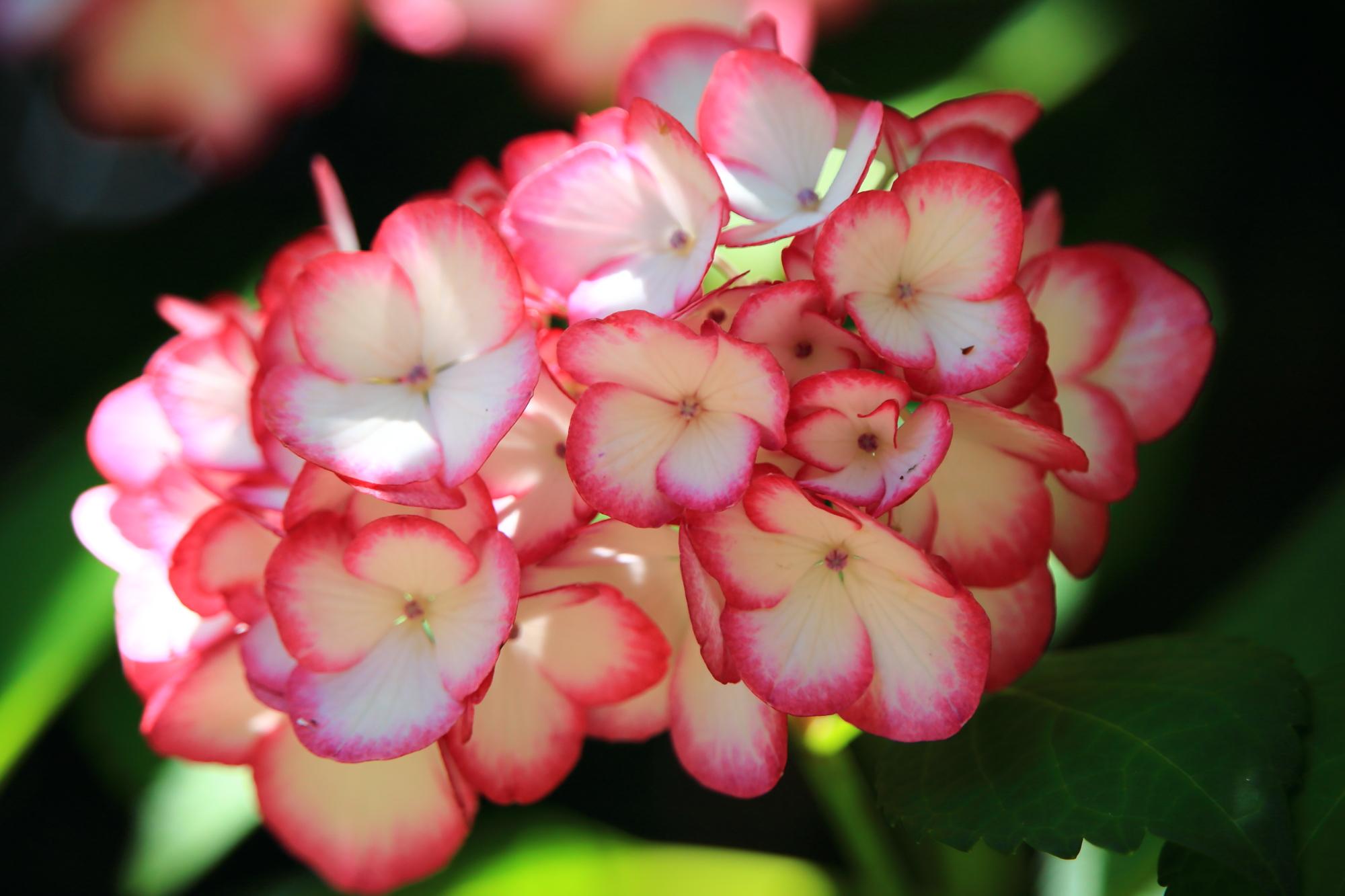 梅宮大社の淵がピンクの白い花のアジサイ