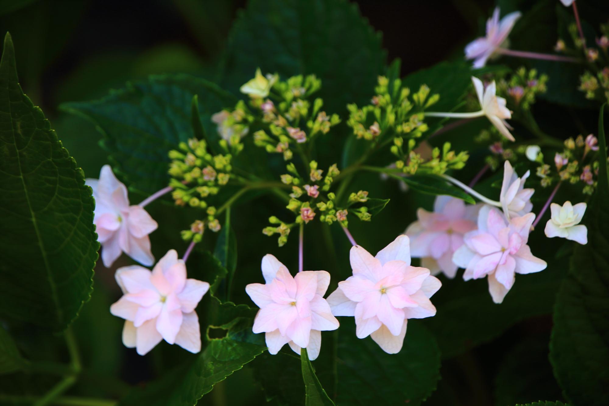 梅宮大社の可愛い薄いピンクのホシアジサイ
