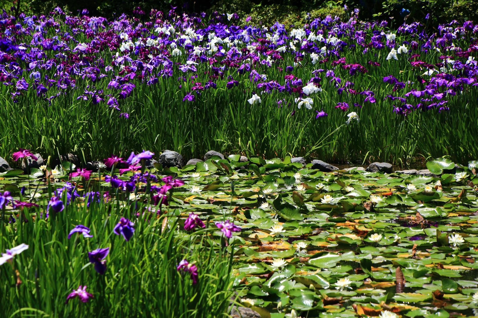梅宮大社の咲き乱れる花菖蒲と睡蓮の初夏の彩り