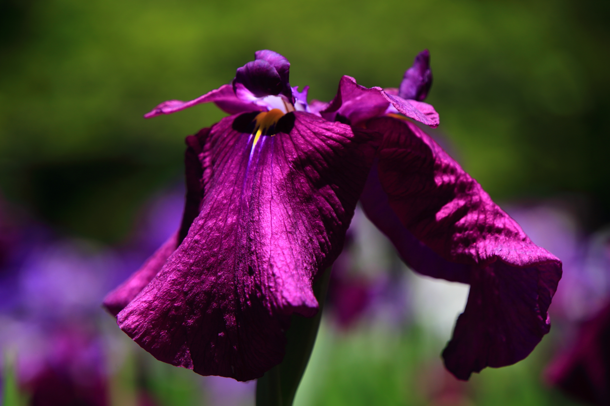 梅宮大社の艶やかな濃い色合いの花菖蒲