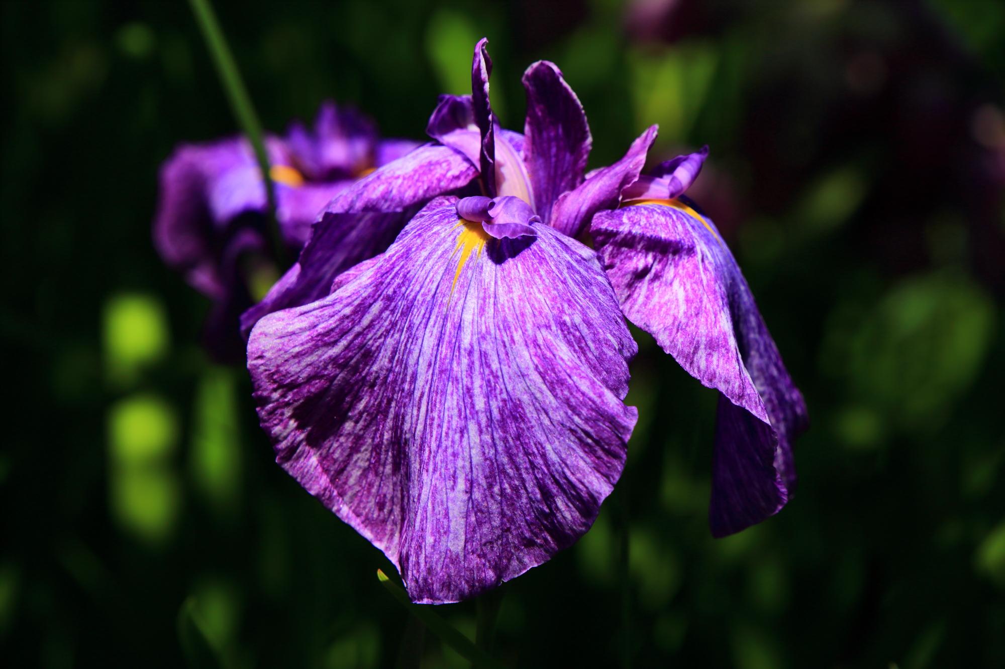 紫の花びらに細かな白い線が入ったハナショウブ